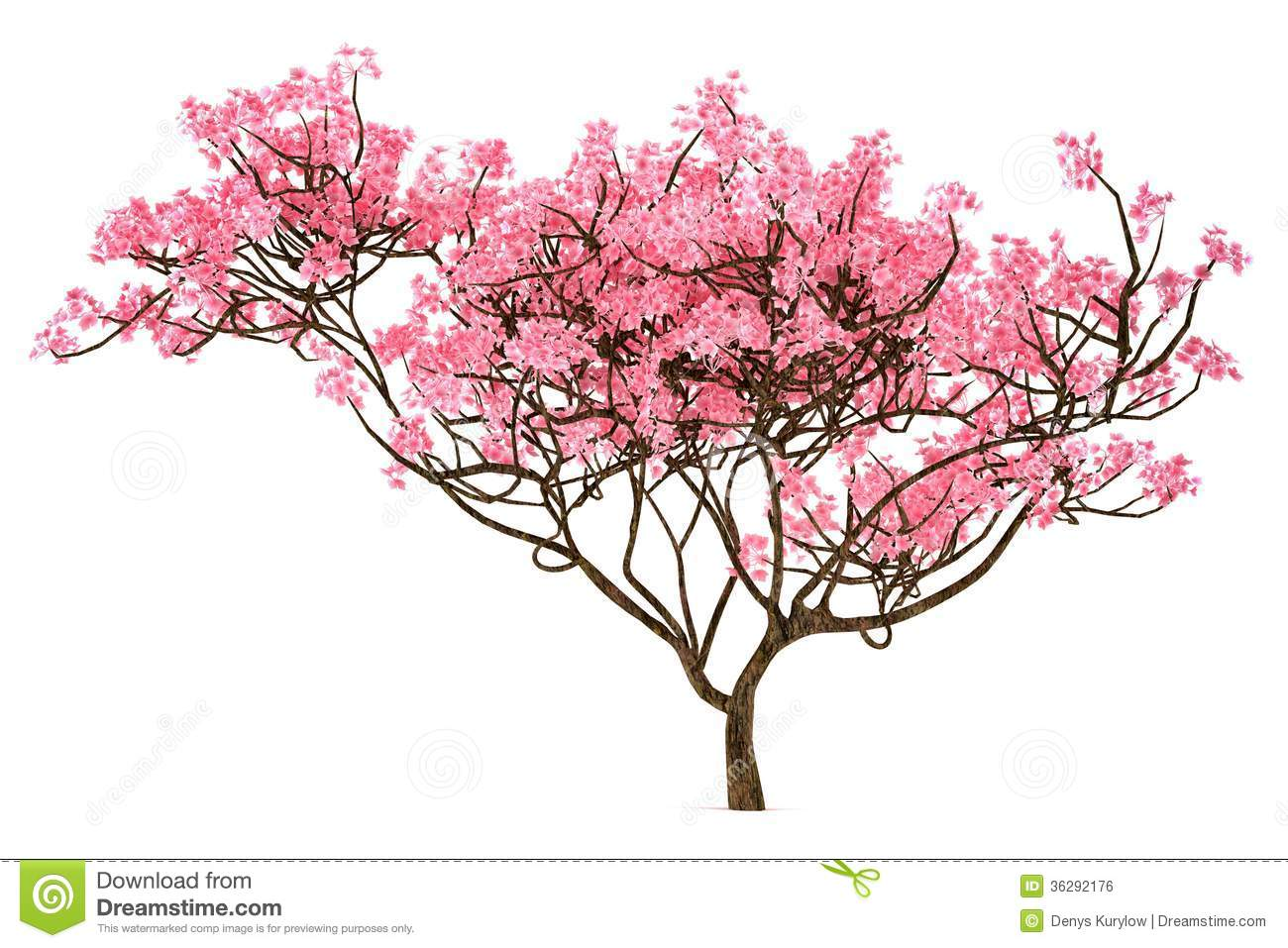 Sakura Tree Isolated Royalty Free Stock Image - Image: 36292176