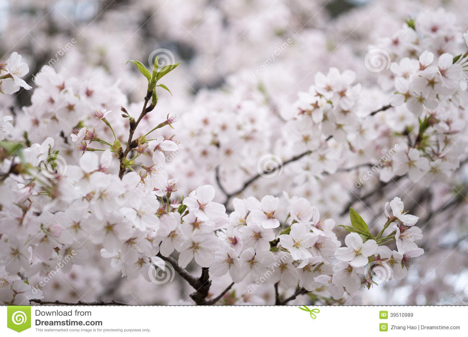 Sakura from wuhan university