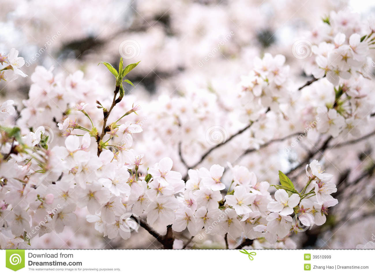 Download Sakura From Wuhan University Stock Image - Image of nature, aichi: 39510999