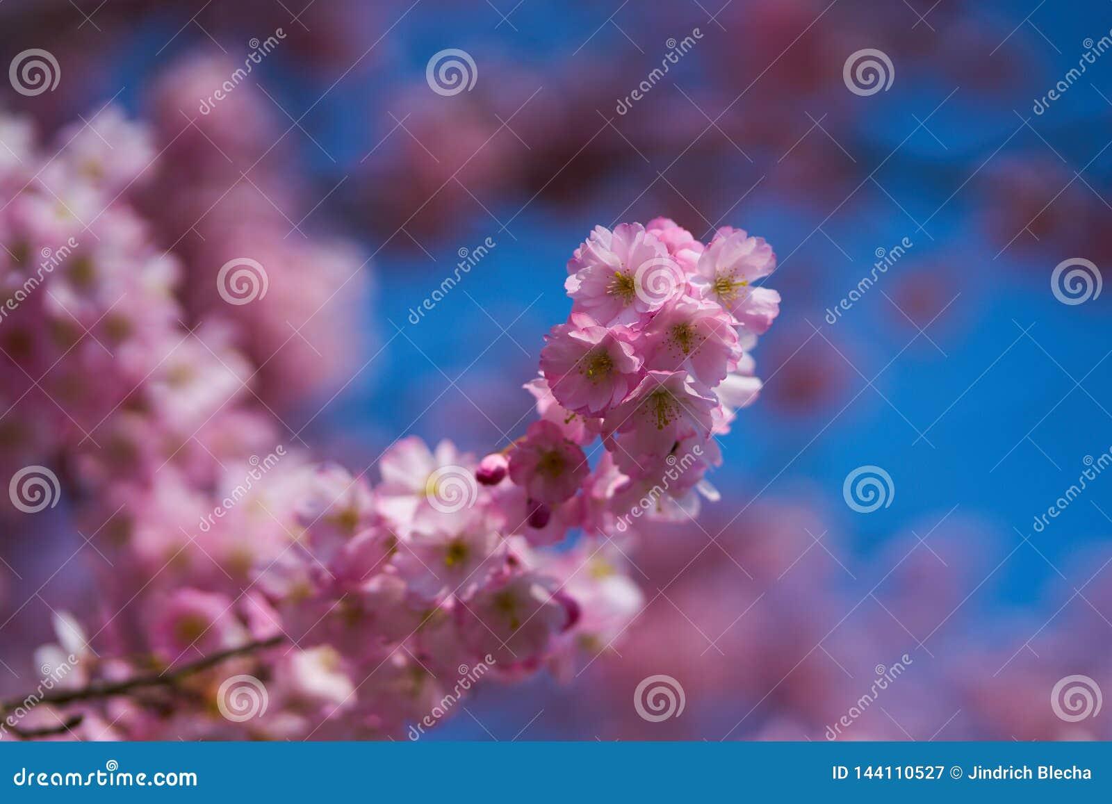 Sakuras w okwitnięciu
