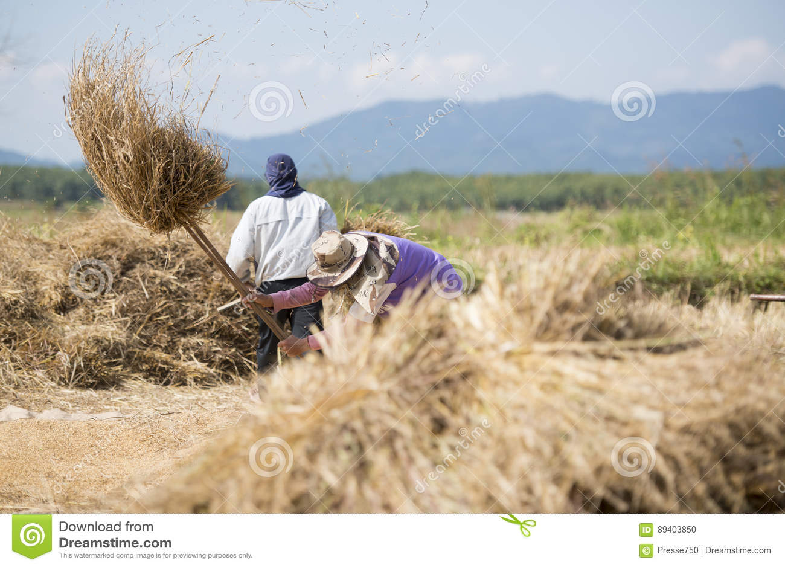 SALÁRIO DA AGRICULTURA RICEFIELD DE TAILÂNDIA CHIANG RAI
