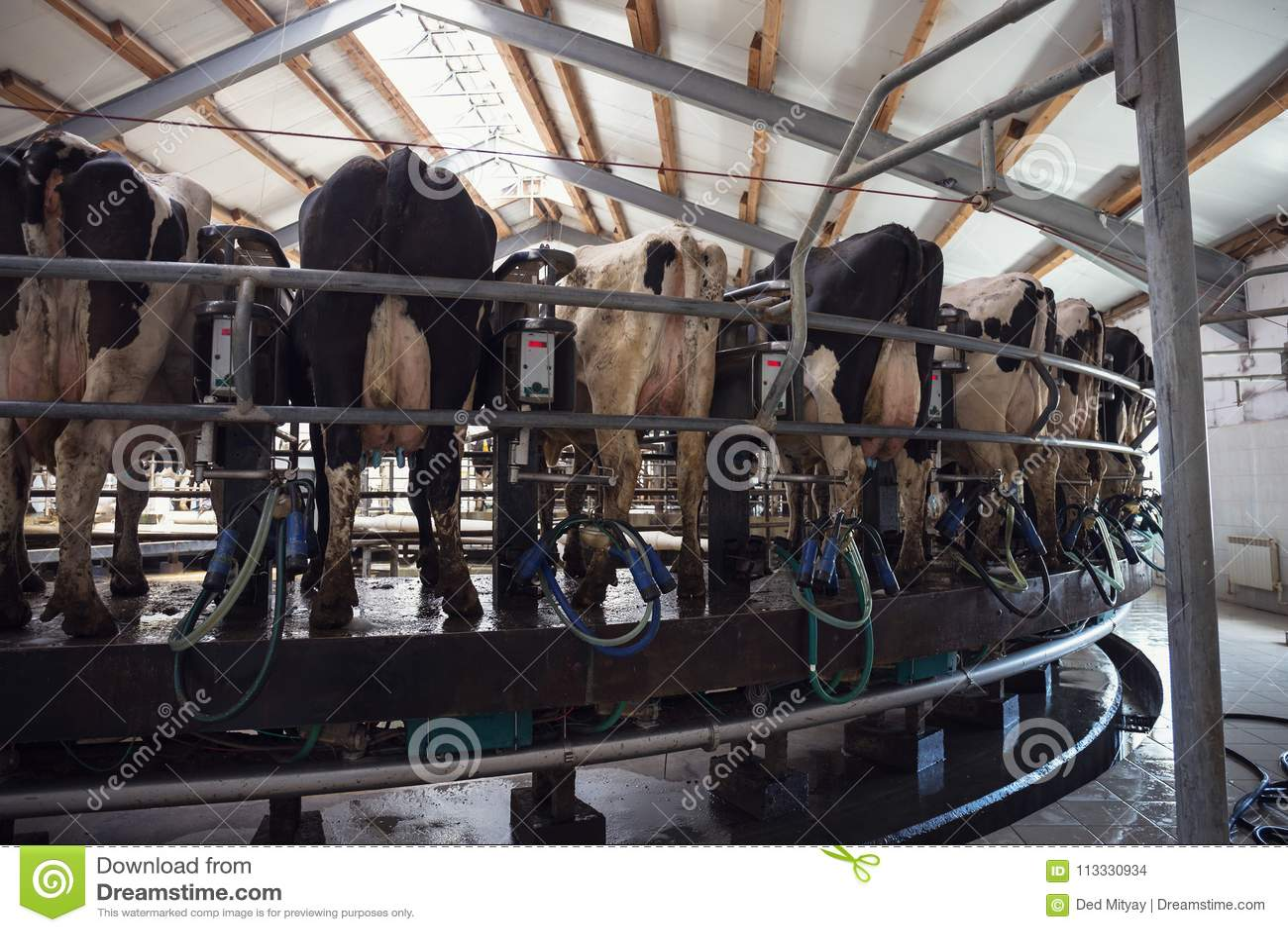 Sala de ordeño del carrusel para las vacas, instalación de ordeno en la granja lechera