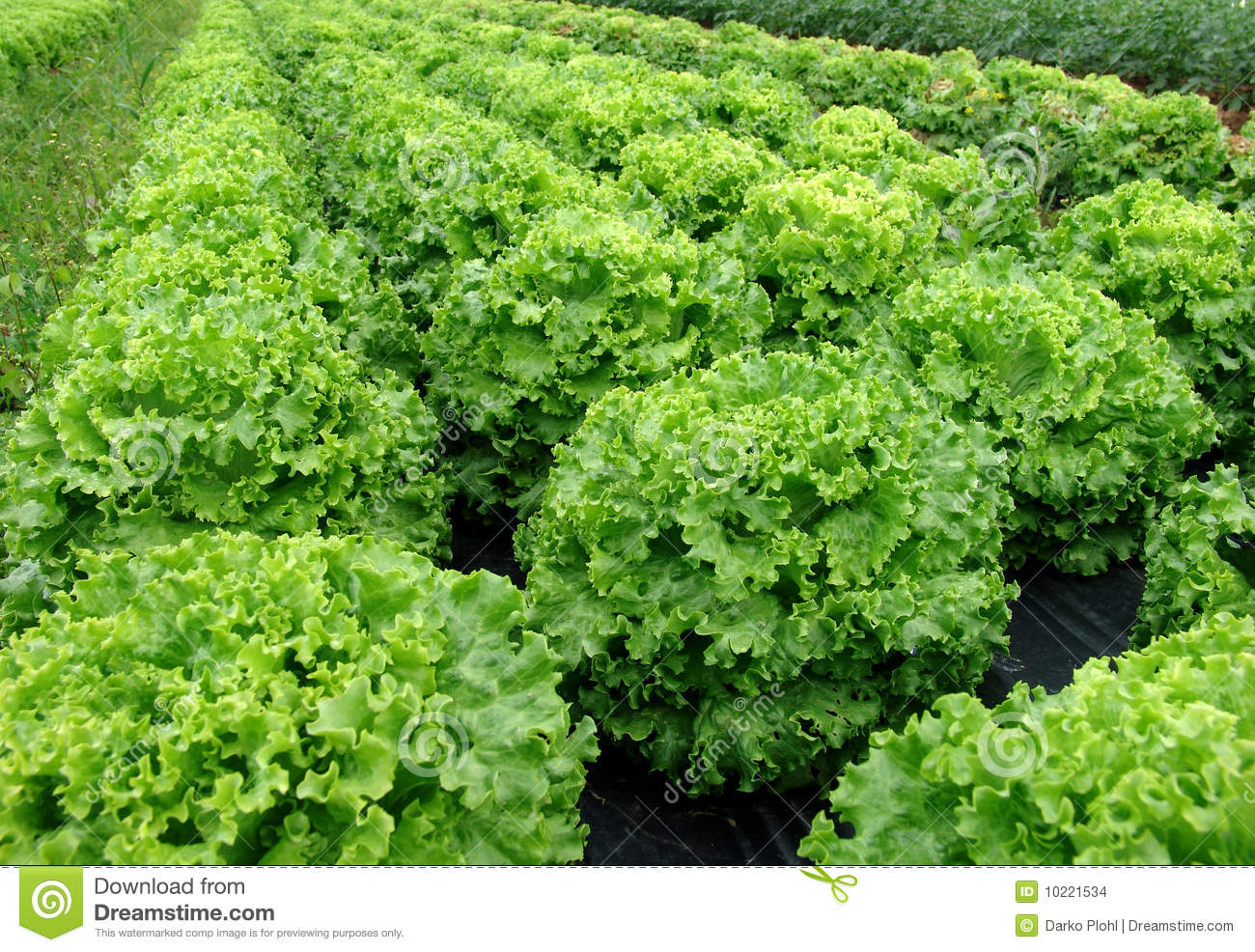 Salad plant stock images image 10221534 for Planting a garden