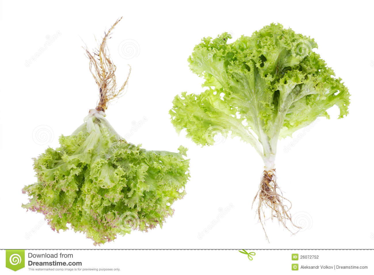 Salad small bushes with roots isolated stock photography for Small bushy trees