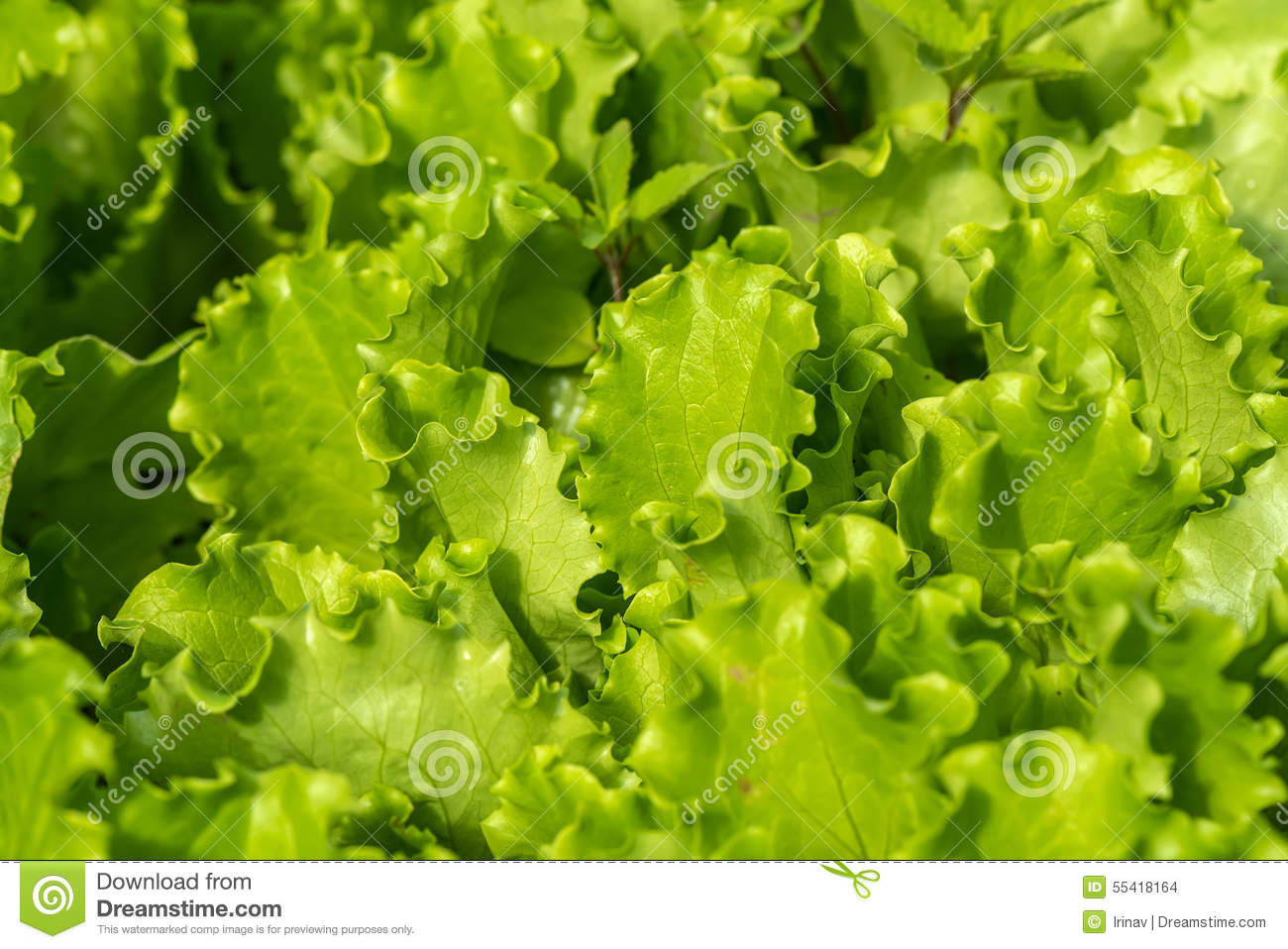 Salad vegetables plant background stock photo image for Dream plants for the natural garden