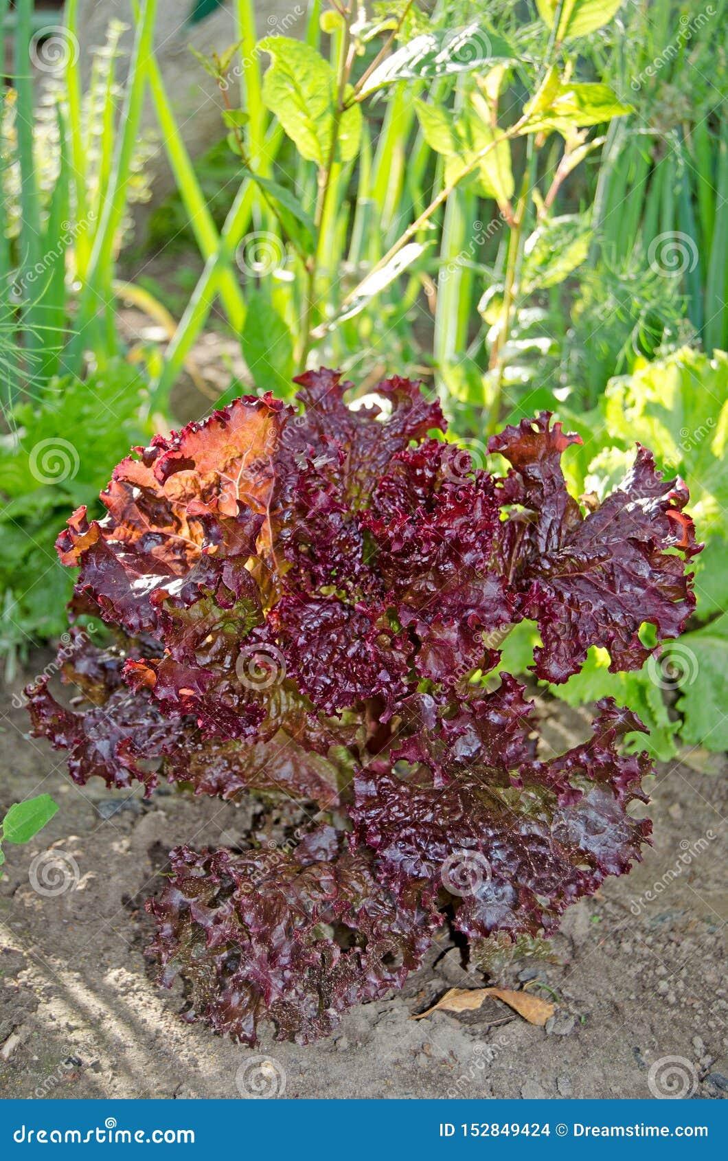 Salade rouge de feuille dans le jardin