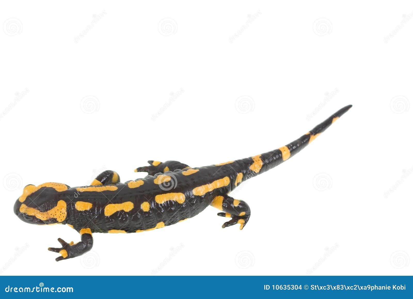 salamander white background - photo #2