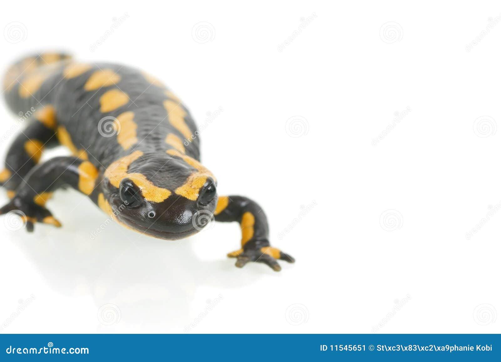salamander white background - photo #38