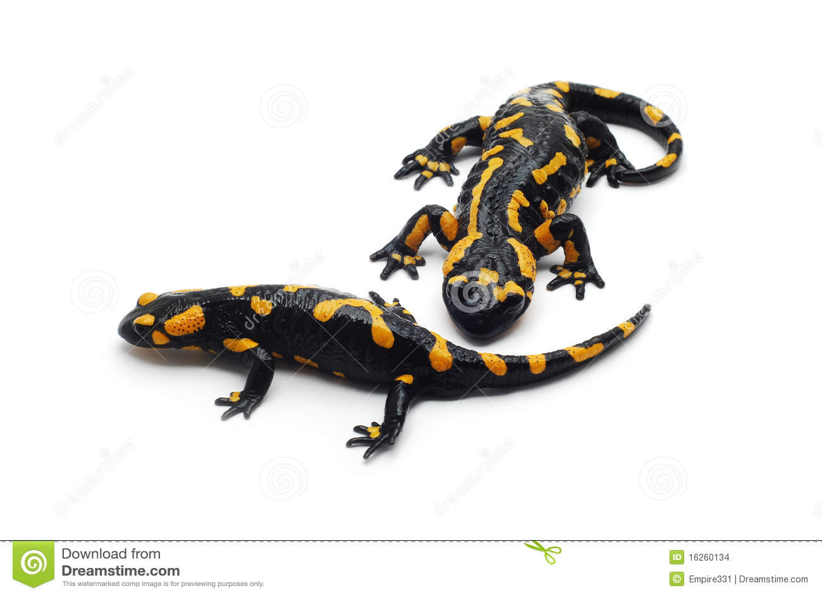 salamander white background - photo #9