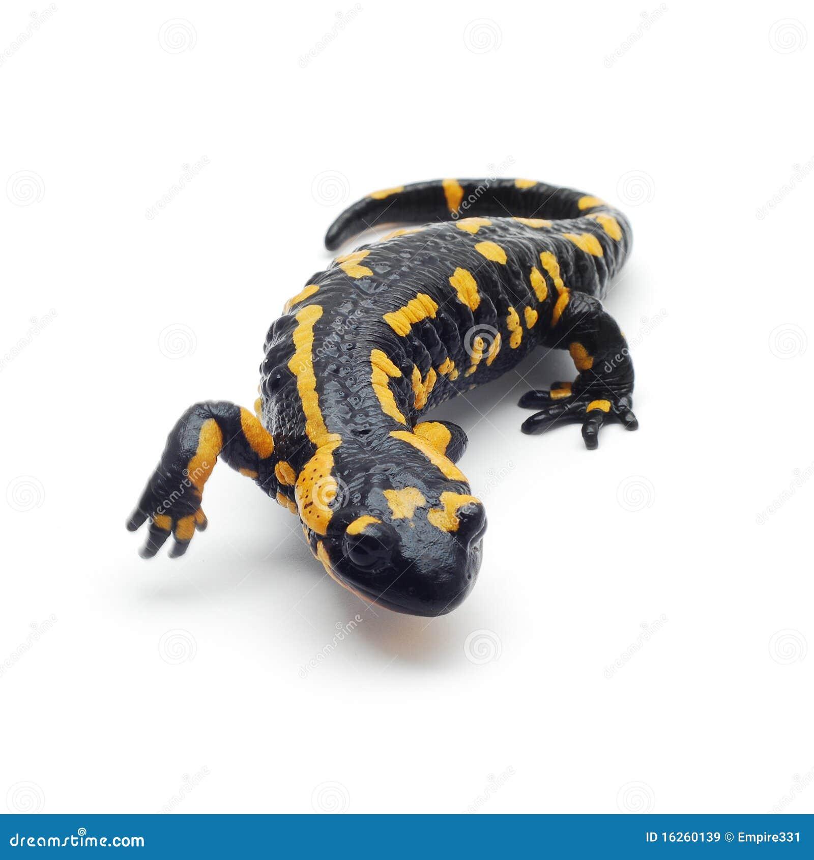 salamander white background - photo #7