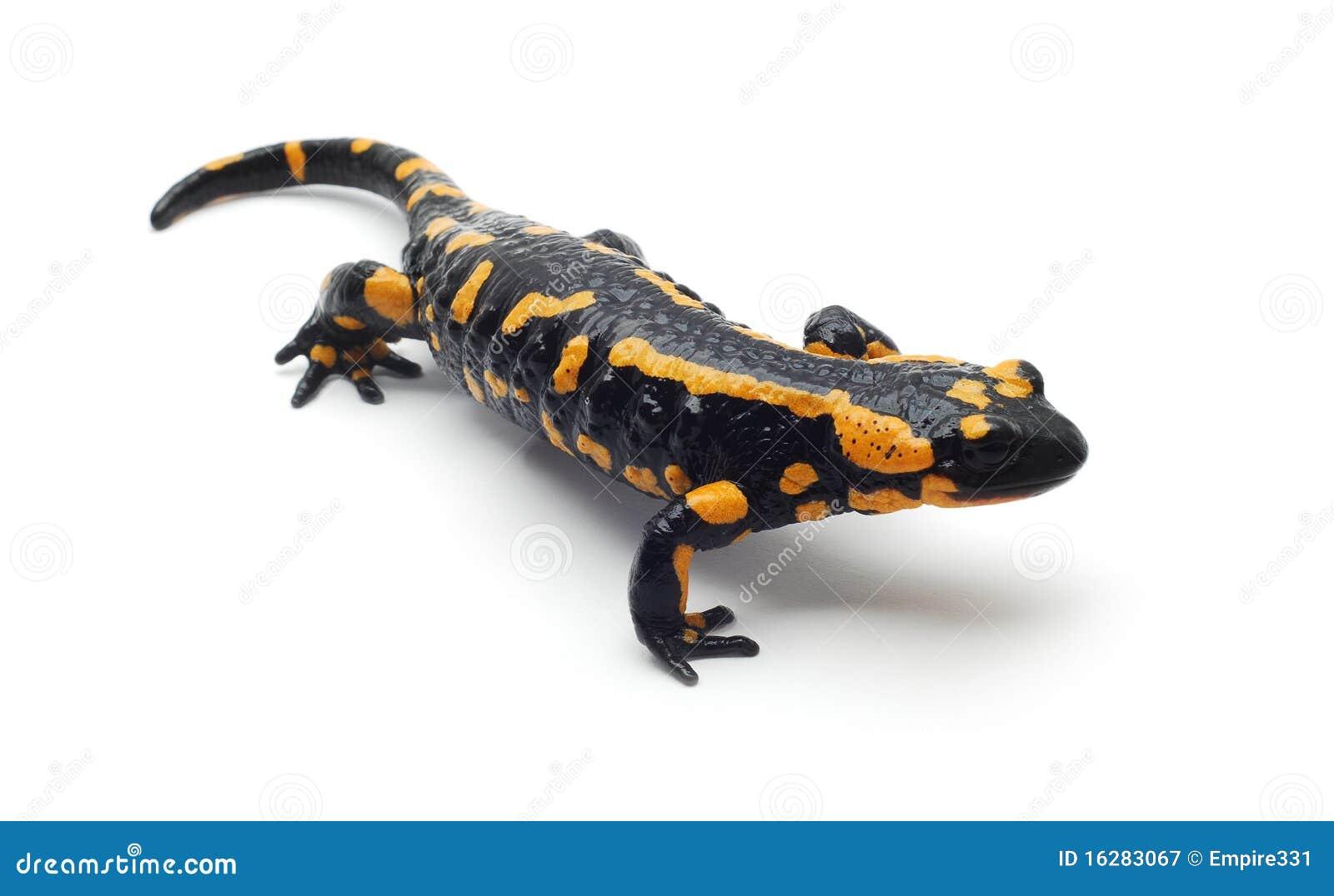 salamander white background - photo #42