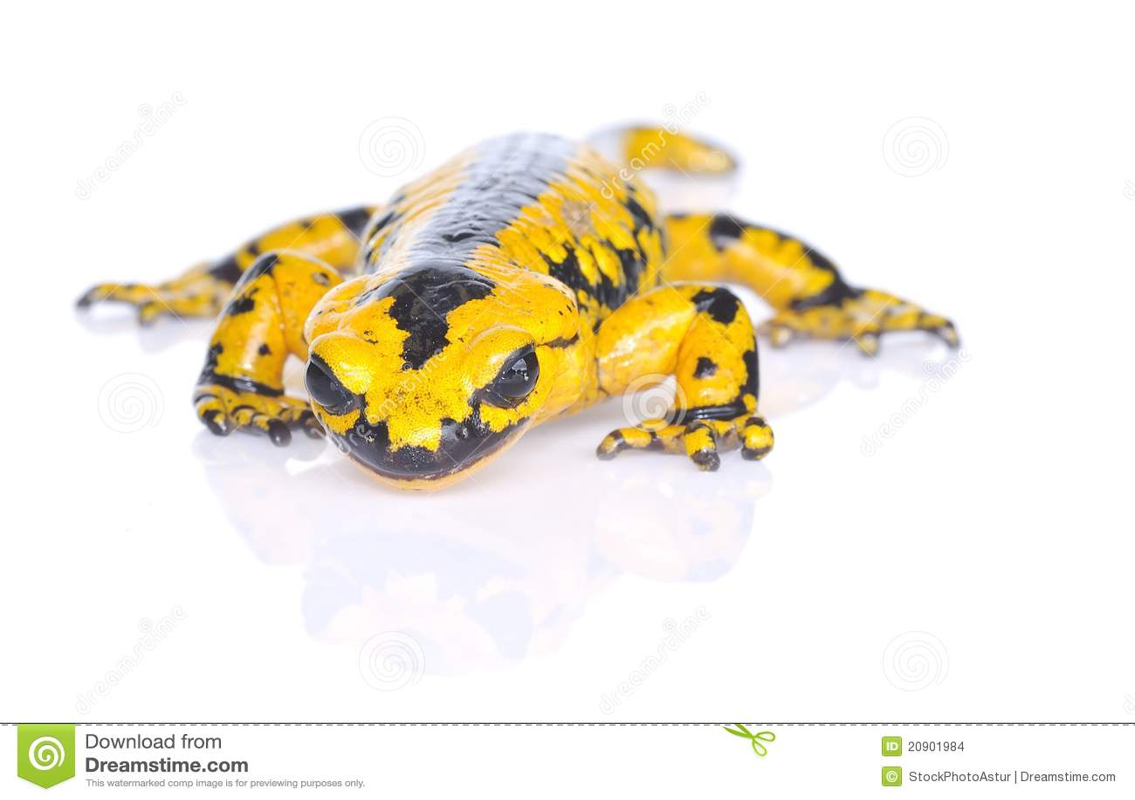 salamander white background - photo #29