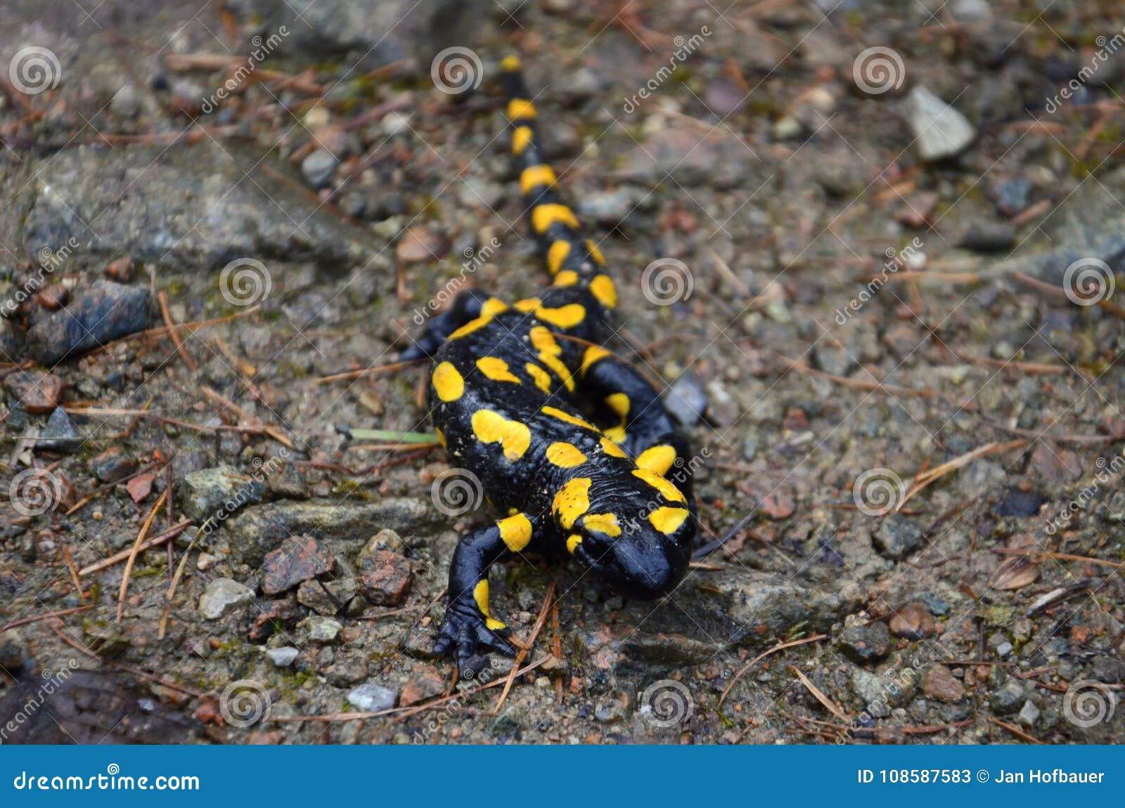 salamander stock image image of forest salamander 108587583