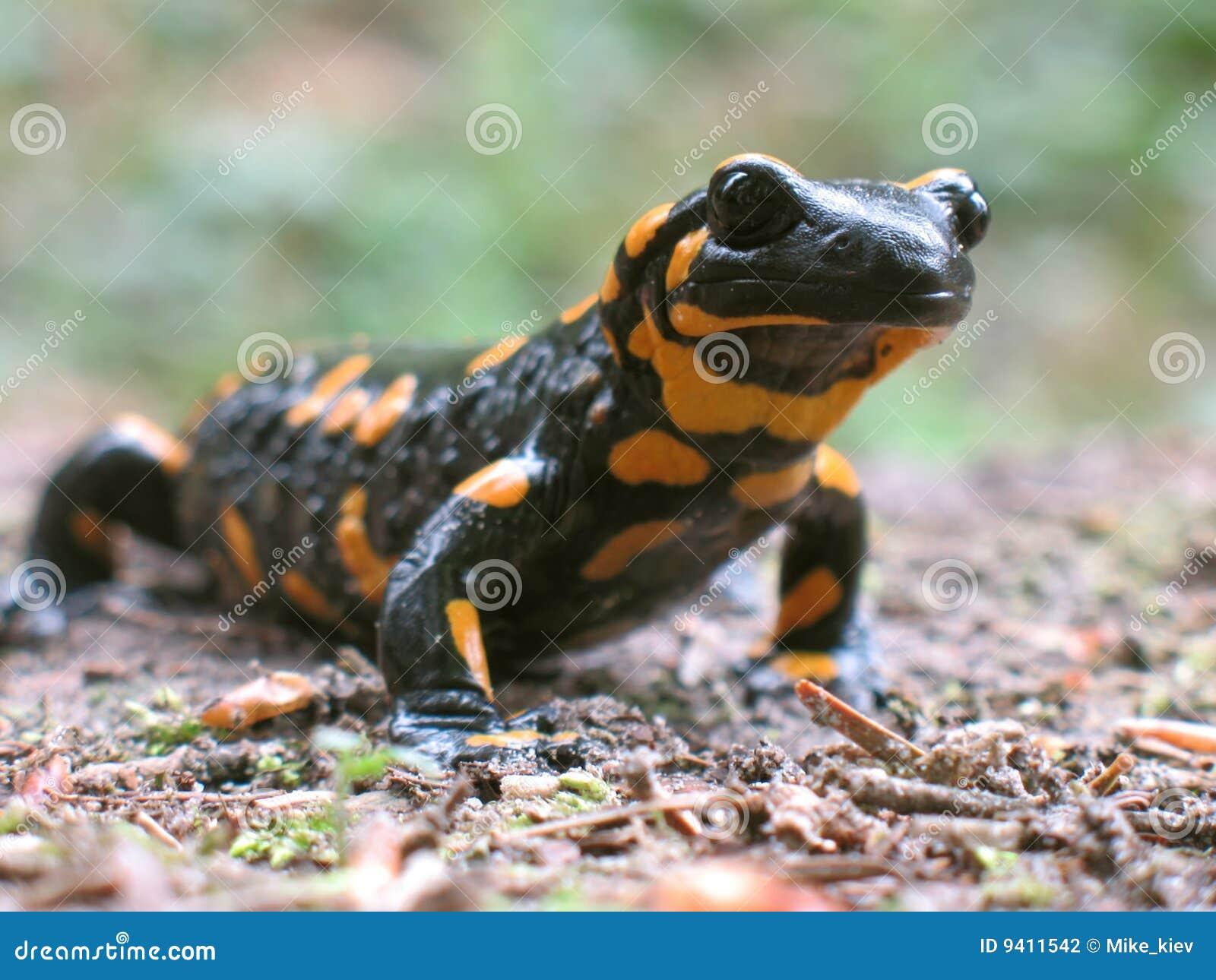 Salamander de incêndio a ir caça
