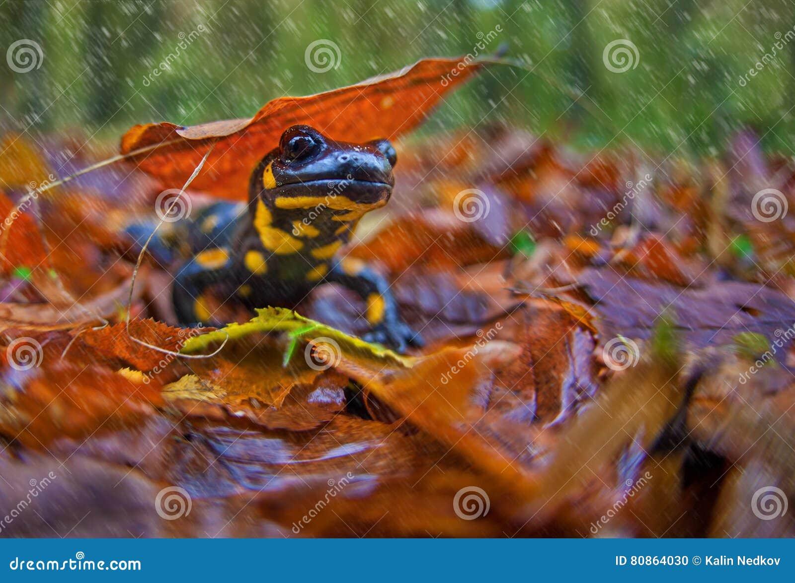 Salamander en caída