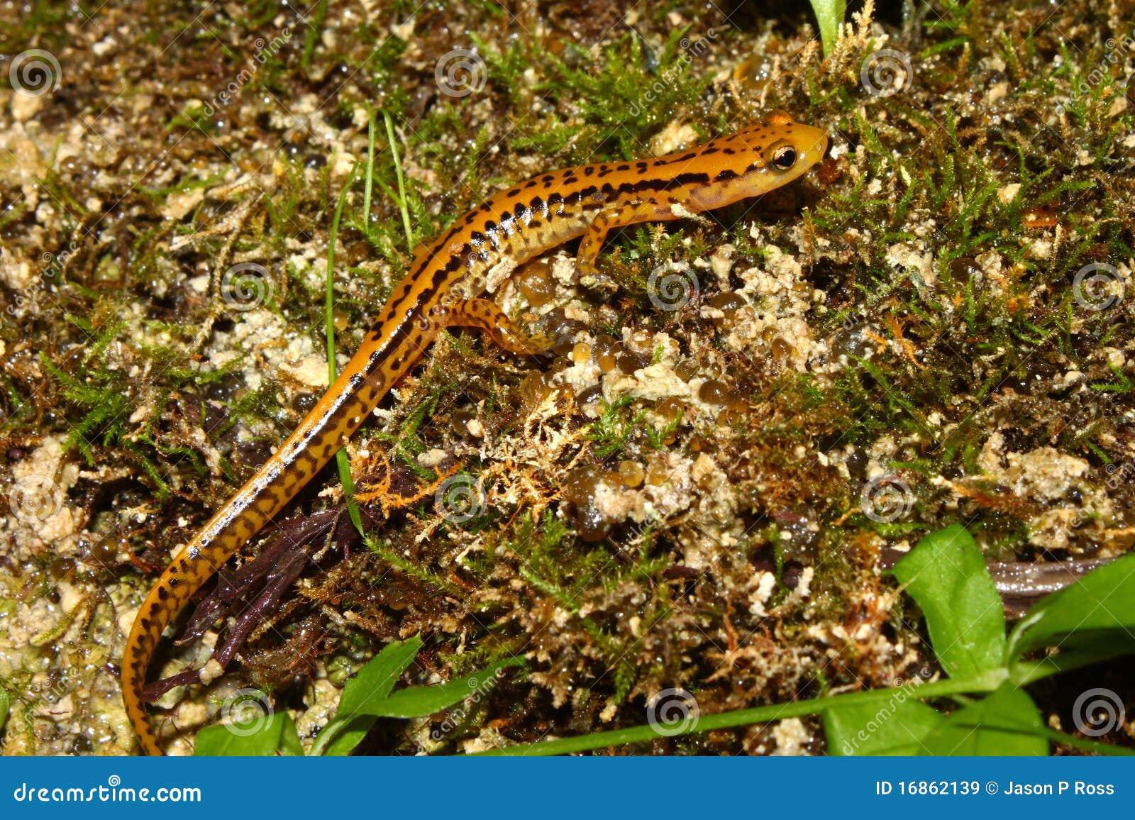 Salamander Long-tailed (longicauda de Eurycea)