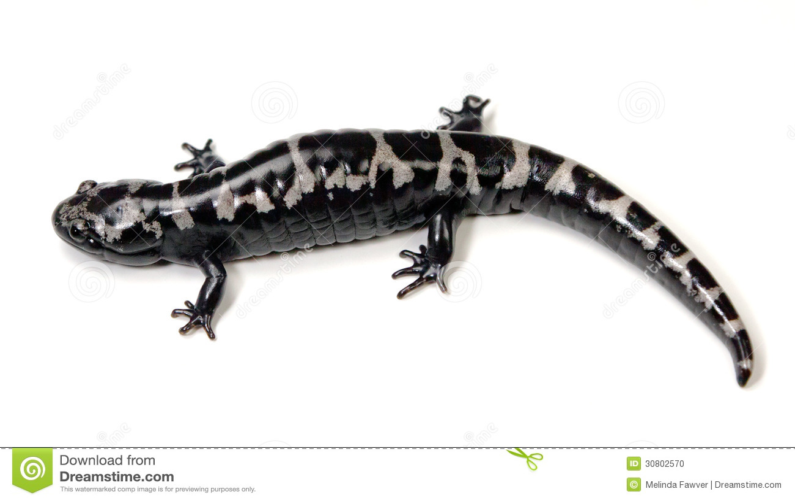 salamander white background - photo #1