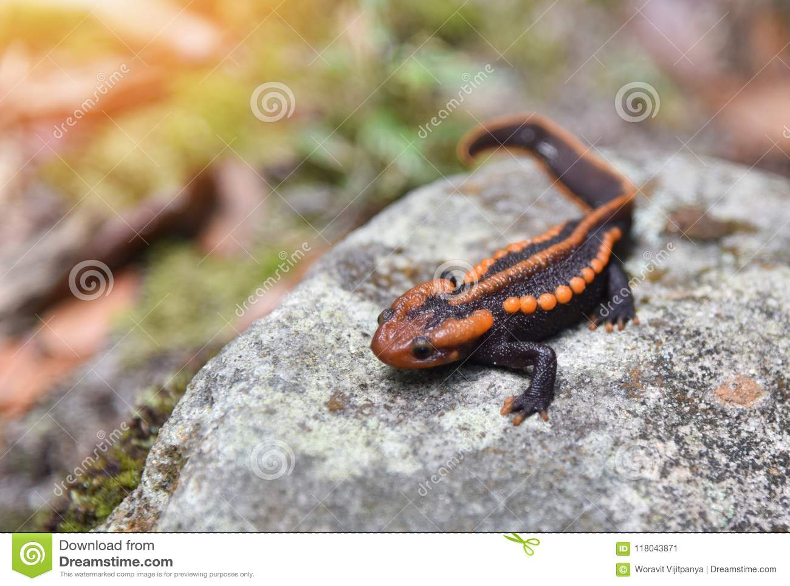 colorful salamander www