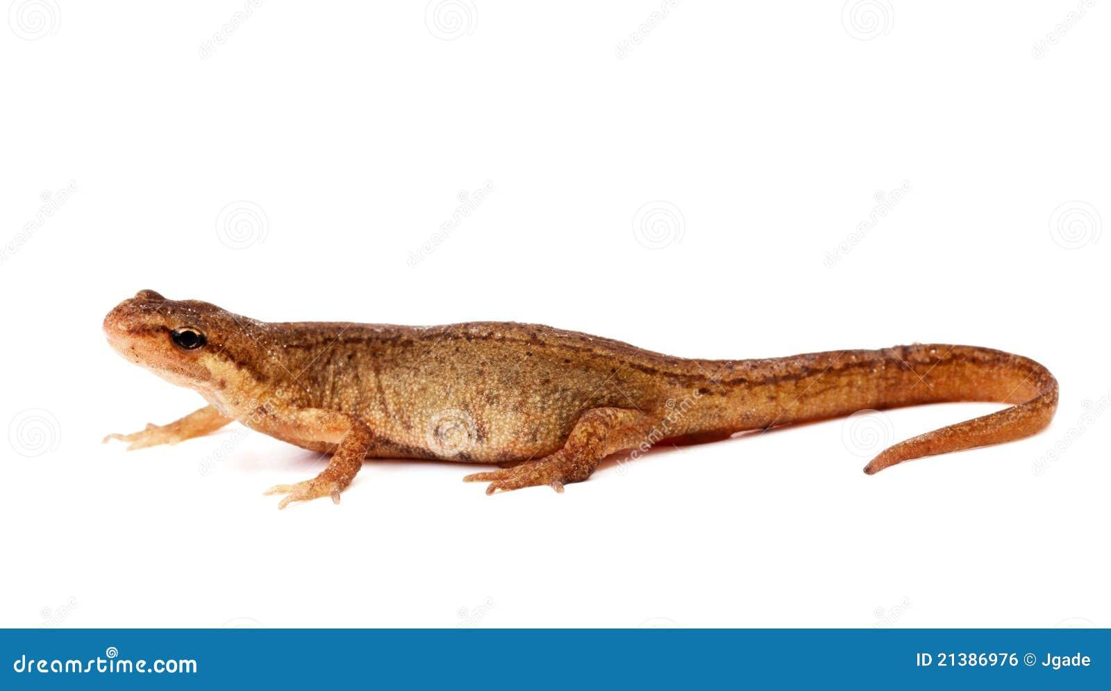 salamander white background - photo #6