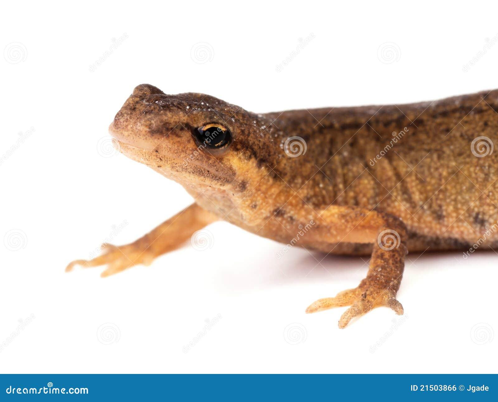 salamander white background - photo #24