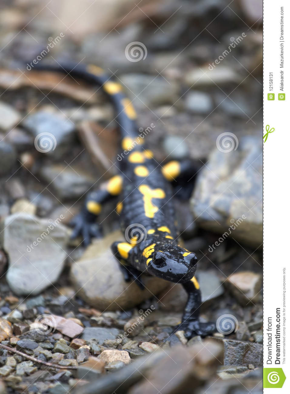 salamander on the stones stock image image of natural 12158131