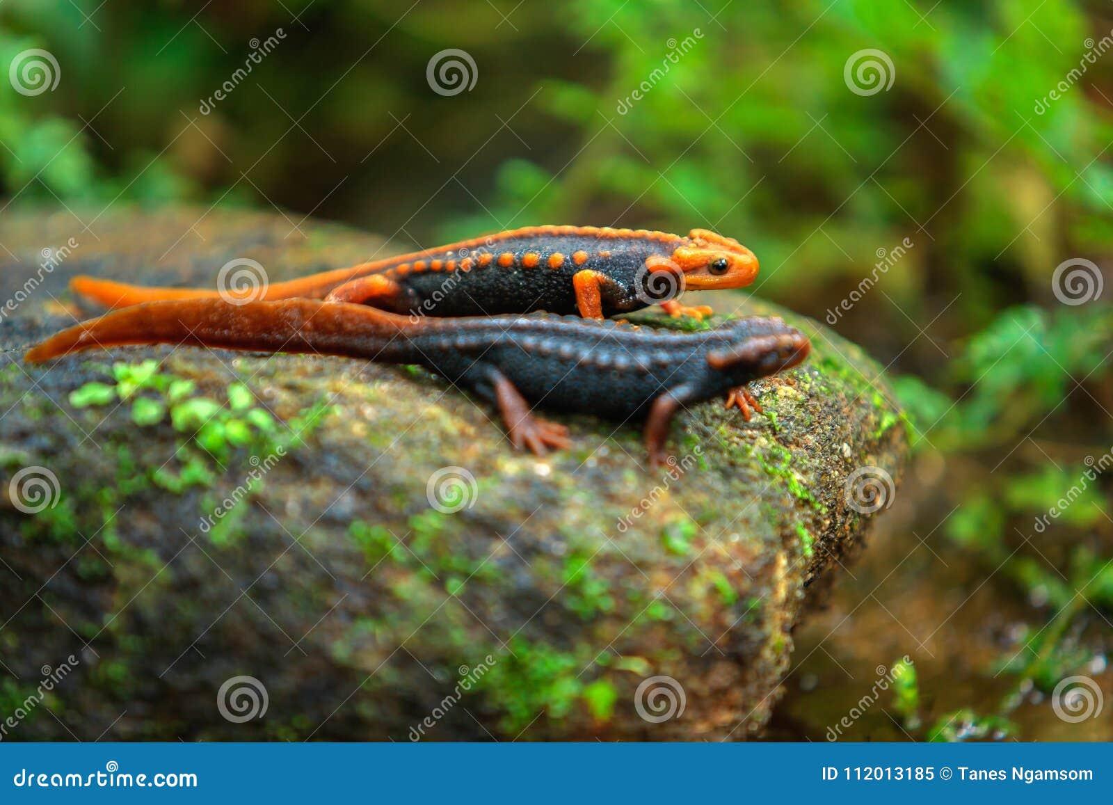 Salamandra del cocodrilo