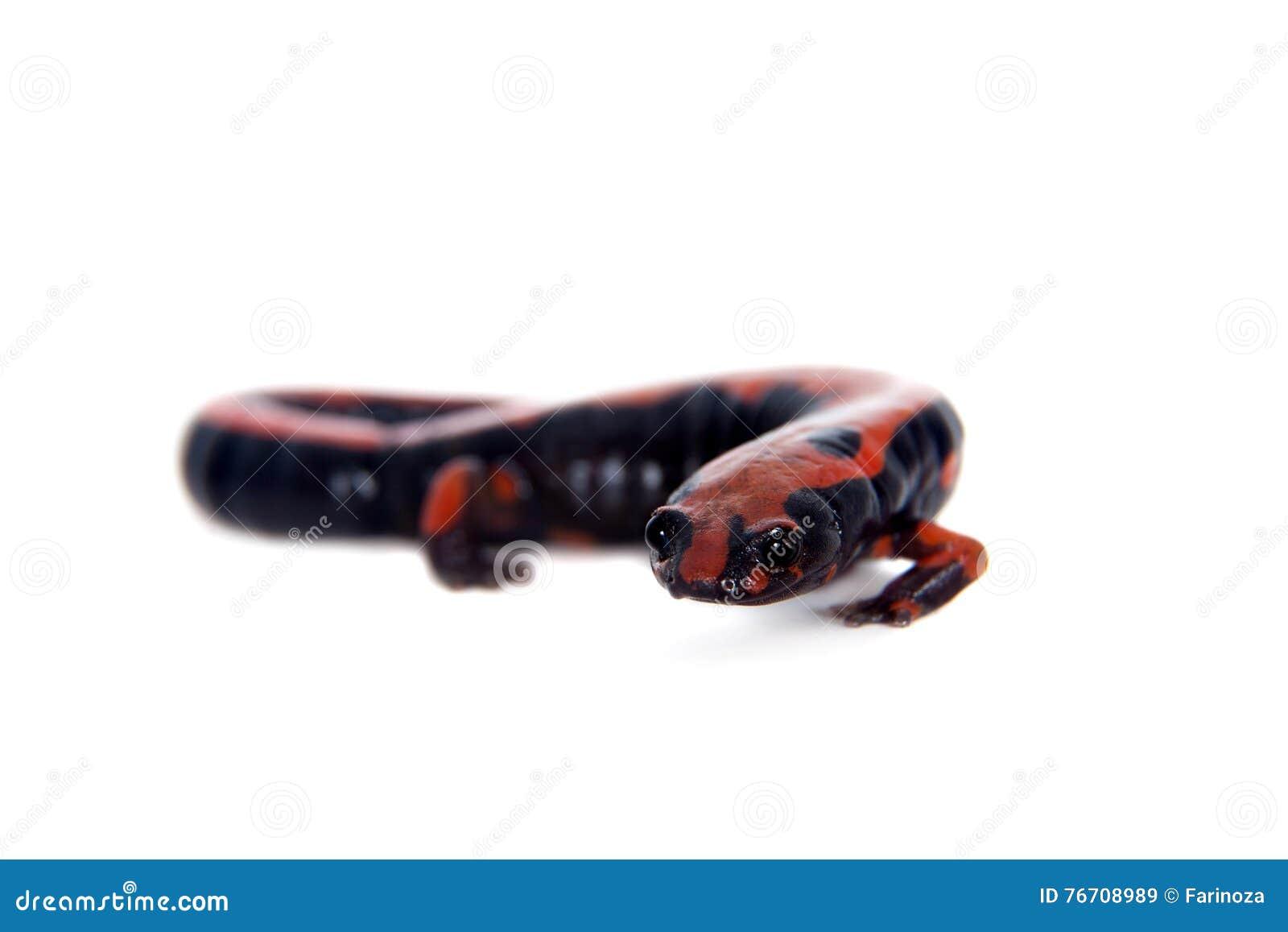 Salamandre de s élever de Lincolns sur le blanc