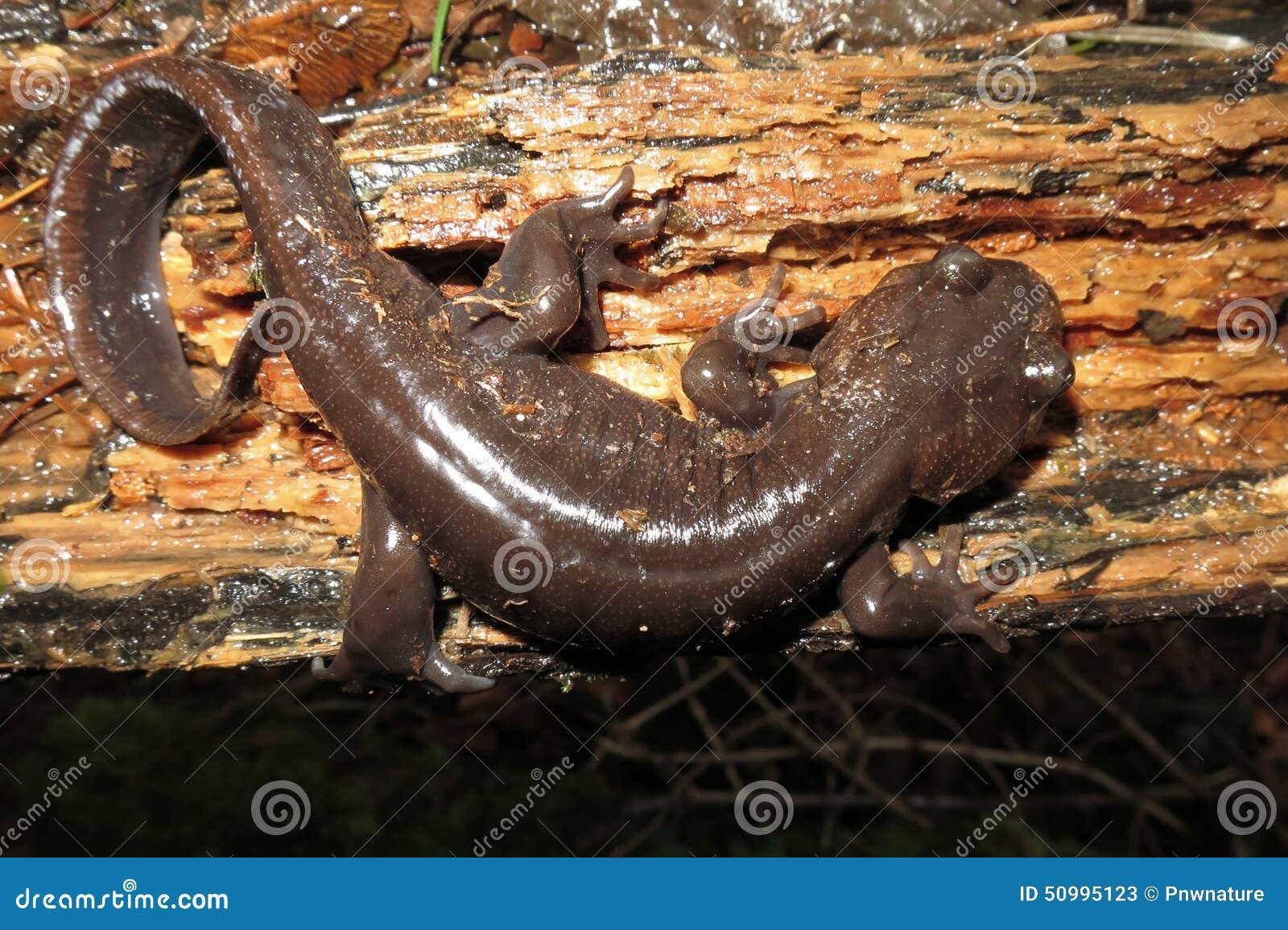 Salamandre du nord-ouest la nuit