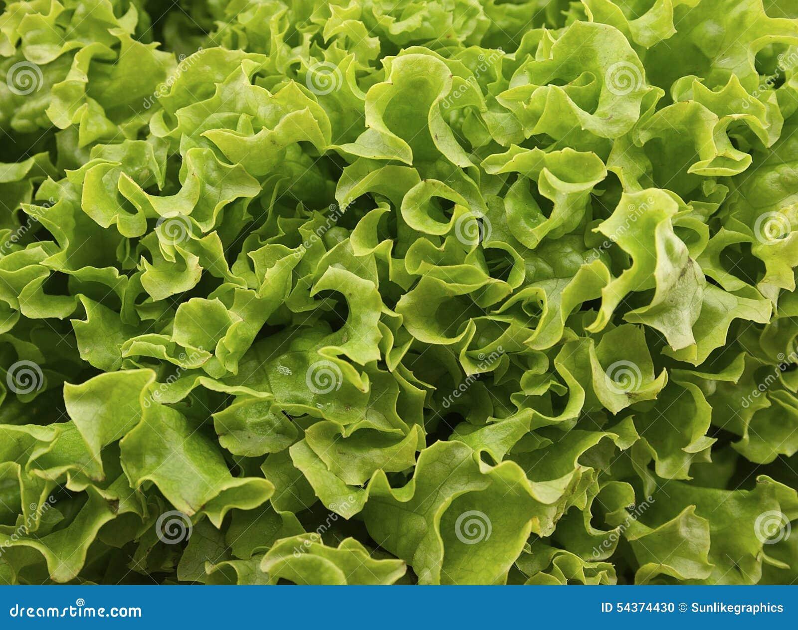 Salat vert frais de laitue sur le fond en bois Nourriture saine