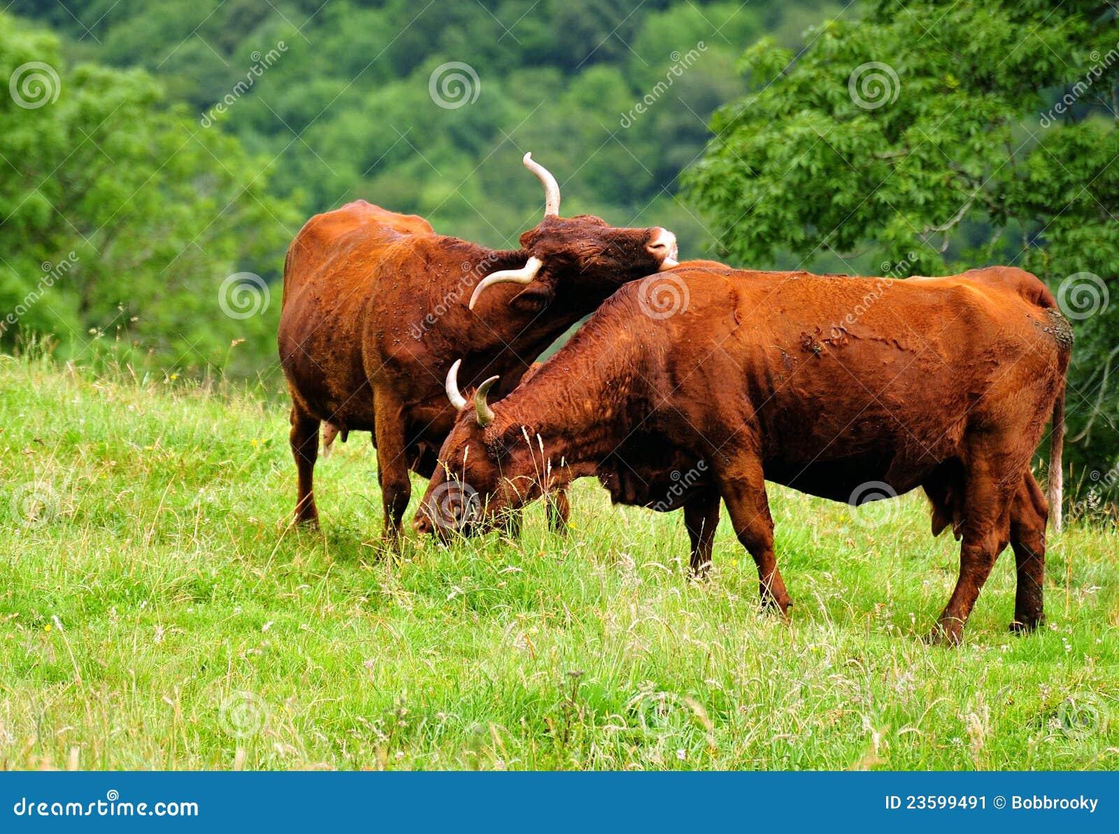 Salers Cattle, Jura Region, France Stock Image - Image ...