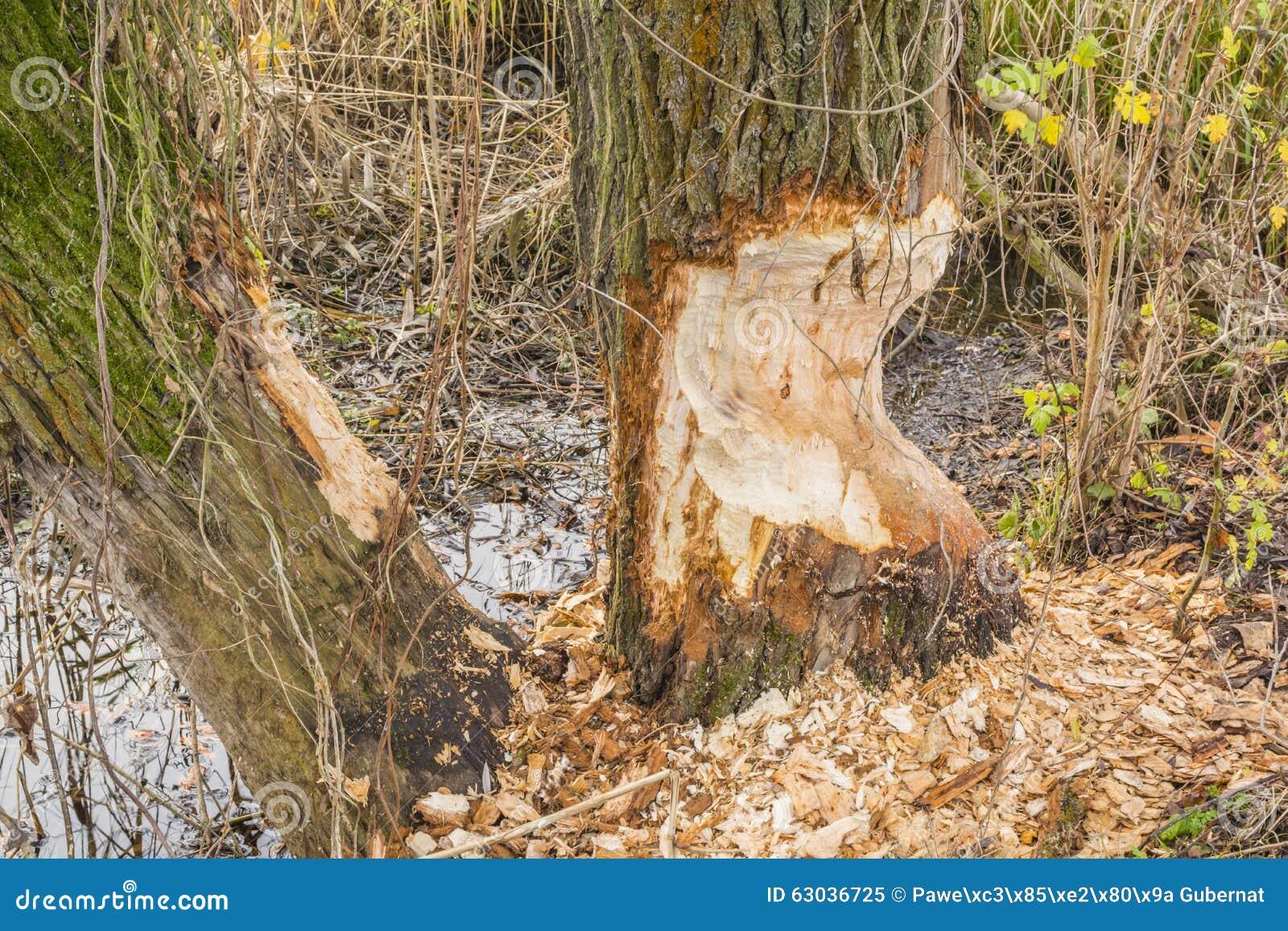 Salgueiro mordido pelo castor euro-asiático (castor, fibra europeus do rodízio)