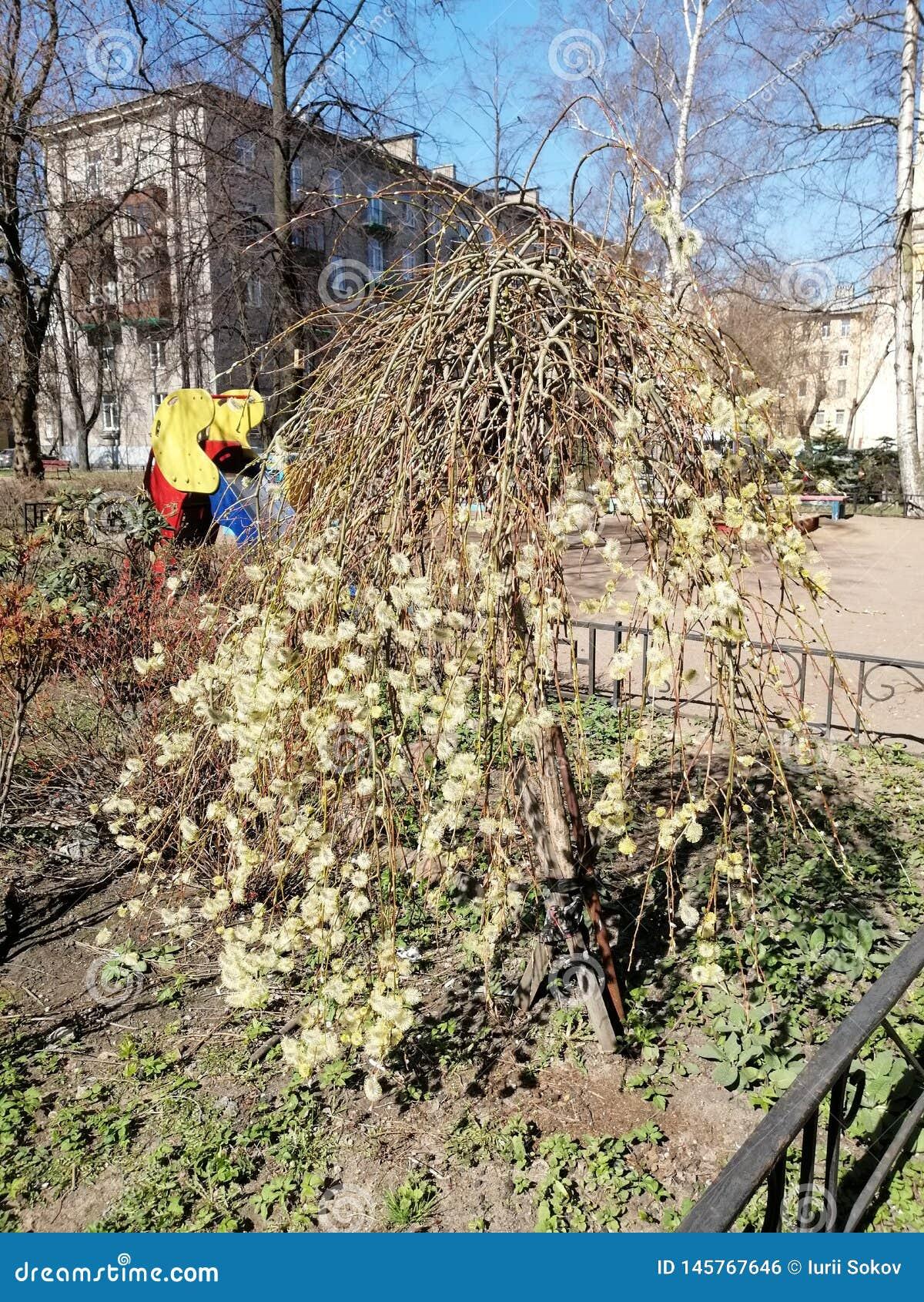 Salice di fioritura nell iarda