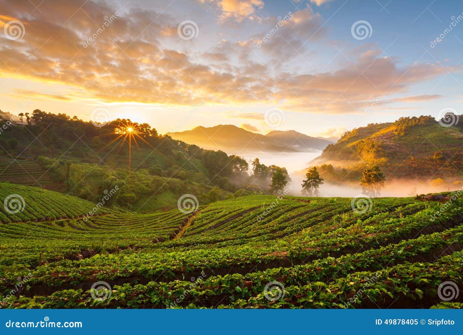Salida del sol brumosa de la mañana en jardín de la fresa en el moun de la Angk-caída de Doi