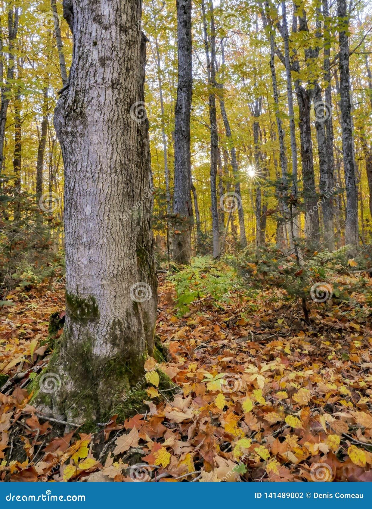 Salida del sol colorida del otoño en un bosque de madera dura