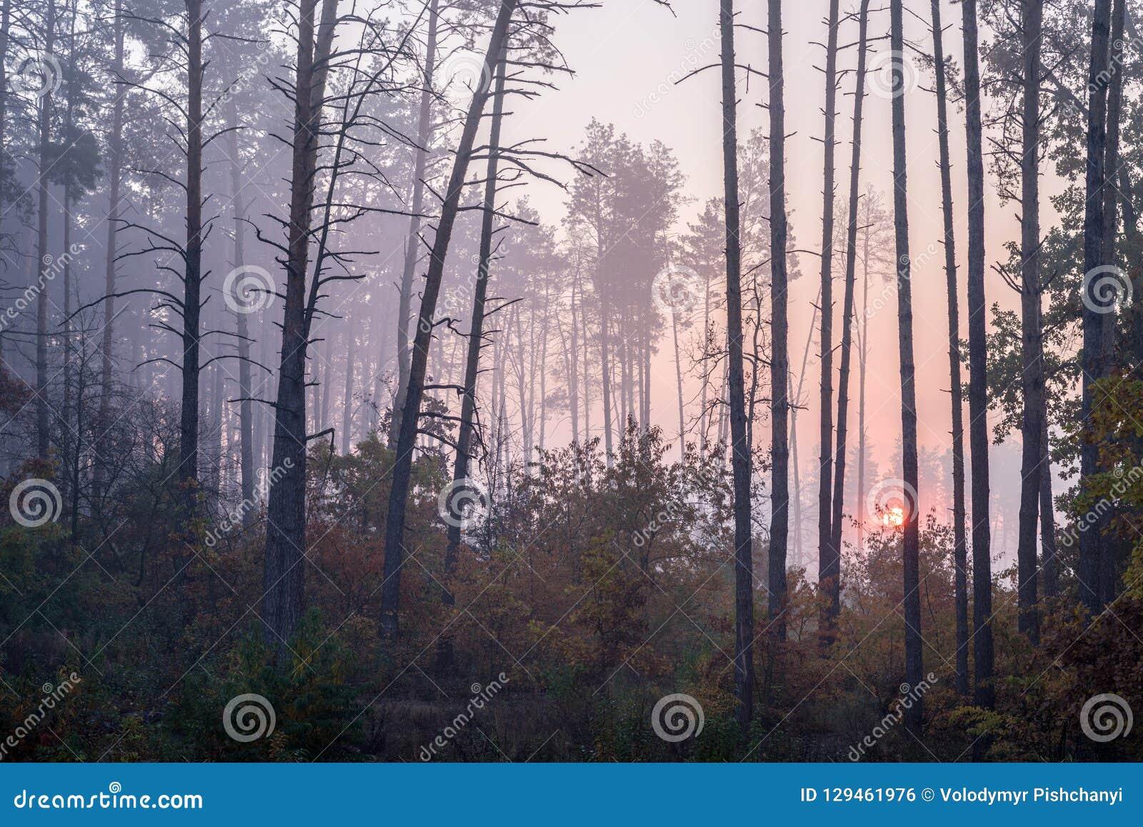 Salida del sol en un bosque del pino que el sol naciente brilla entre los árboles a través de la niebla