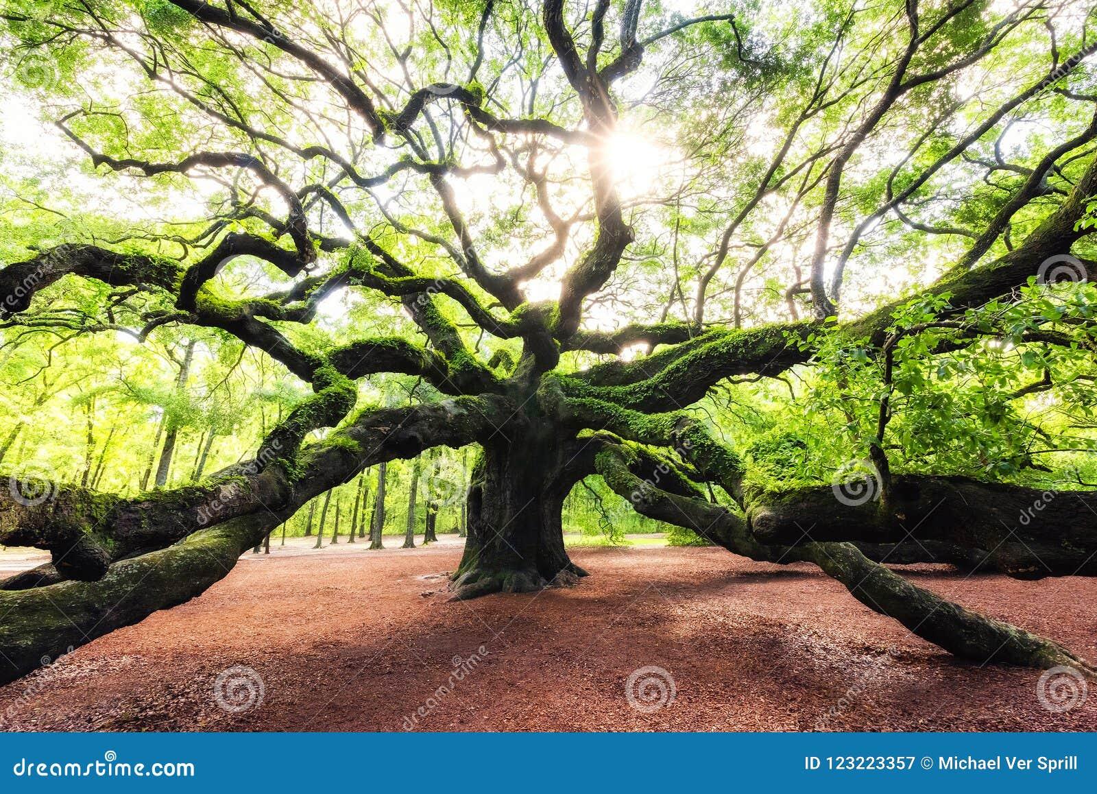Salida del sol a través de Angel Oak Tree en Carolina del Sur
