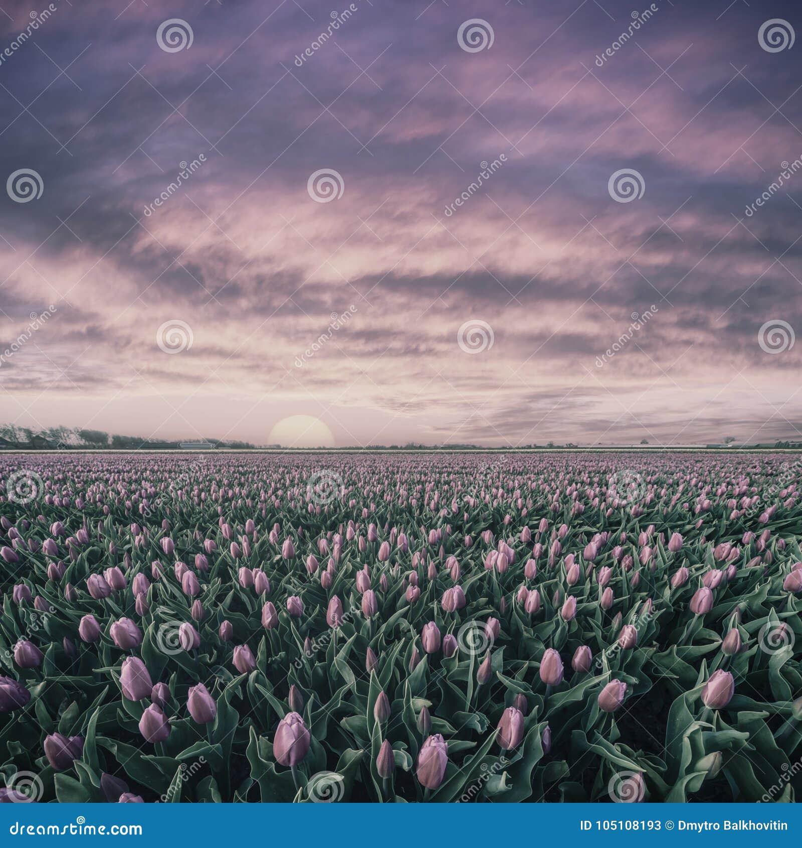 Salida del sol del vintage sobre el campo de tulipanes