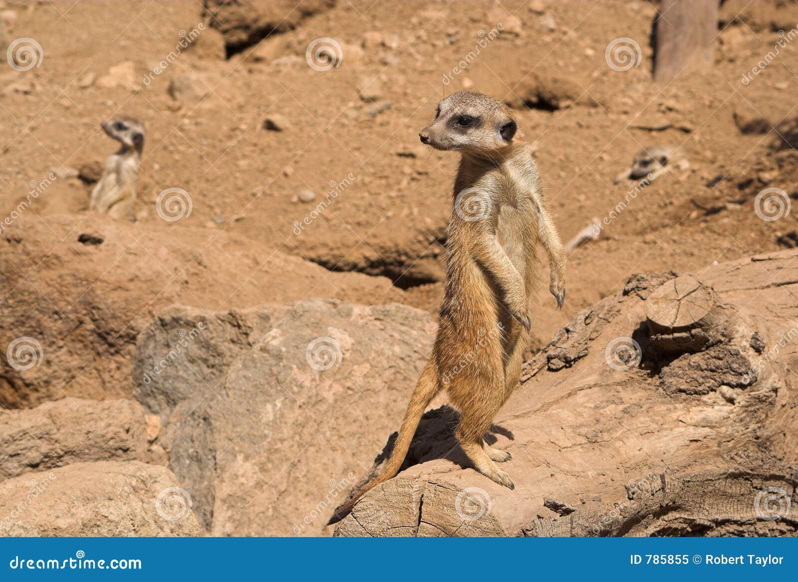 Salidas de la mirada de Meercat