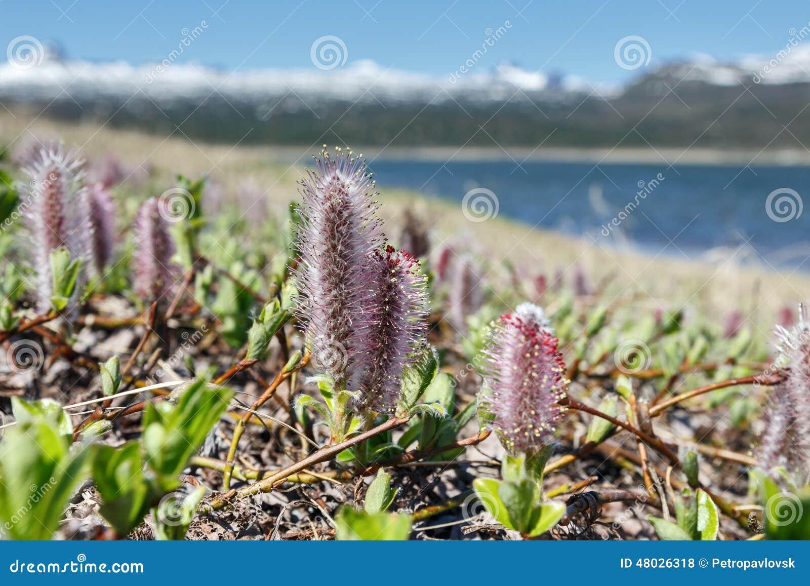 Salix arctica (arctic willow)