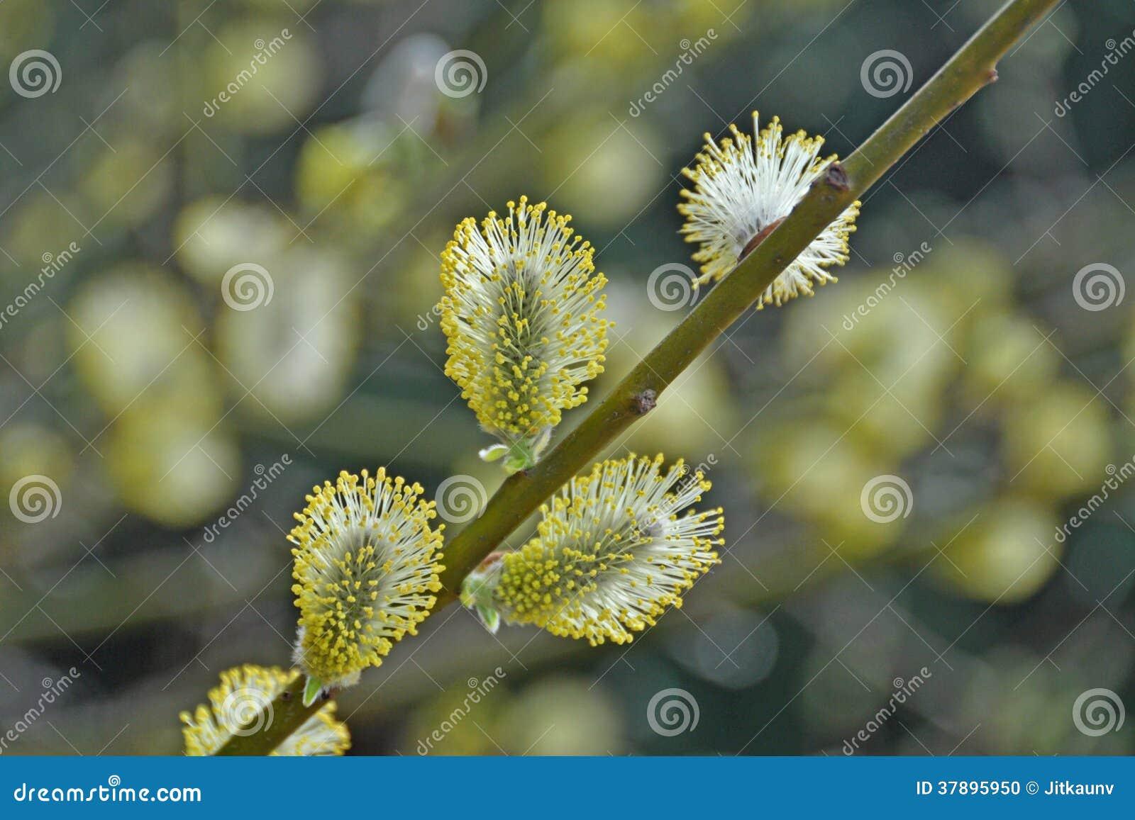 Salixcaprea