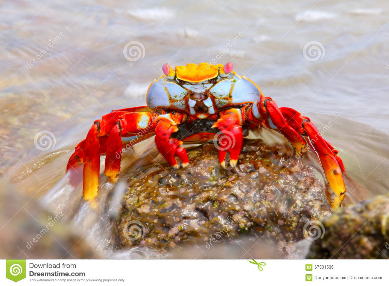 Sally lightfoot crab on Chinese Hat island, Galapagos National P