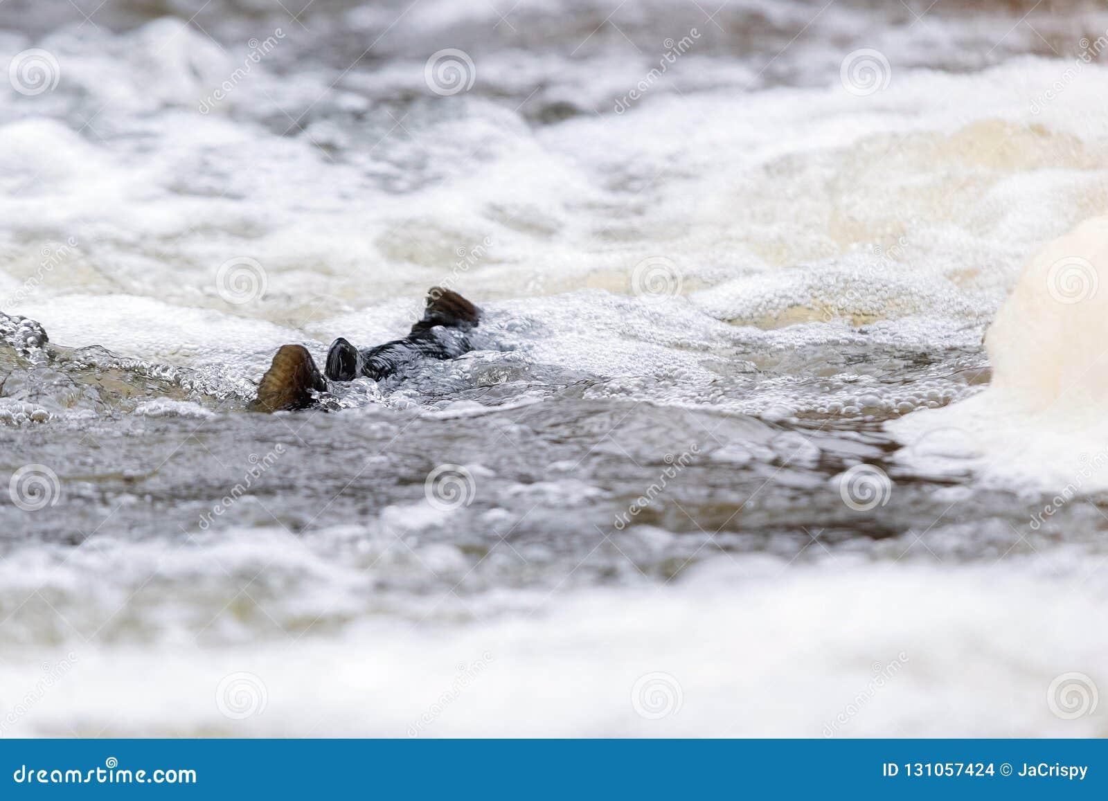 Salmões atlânticos que pulam a corredeira para encontrar o lugar de assentamento Swimm dos peixes