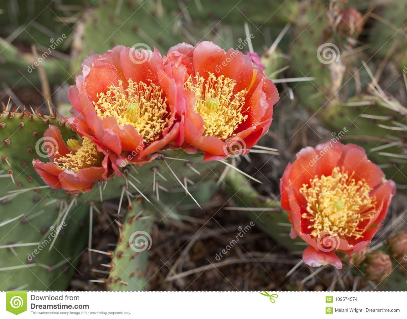 Salmon Colored Prickly Pear Flowers Stock Photo - Image of ...