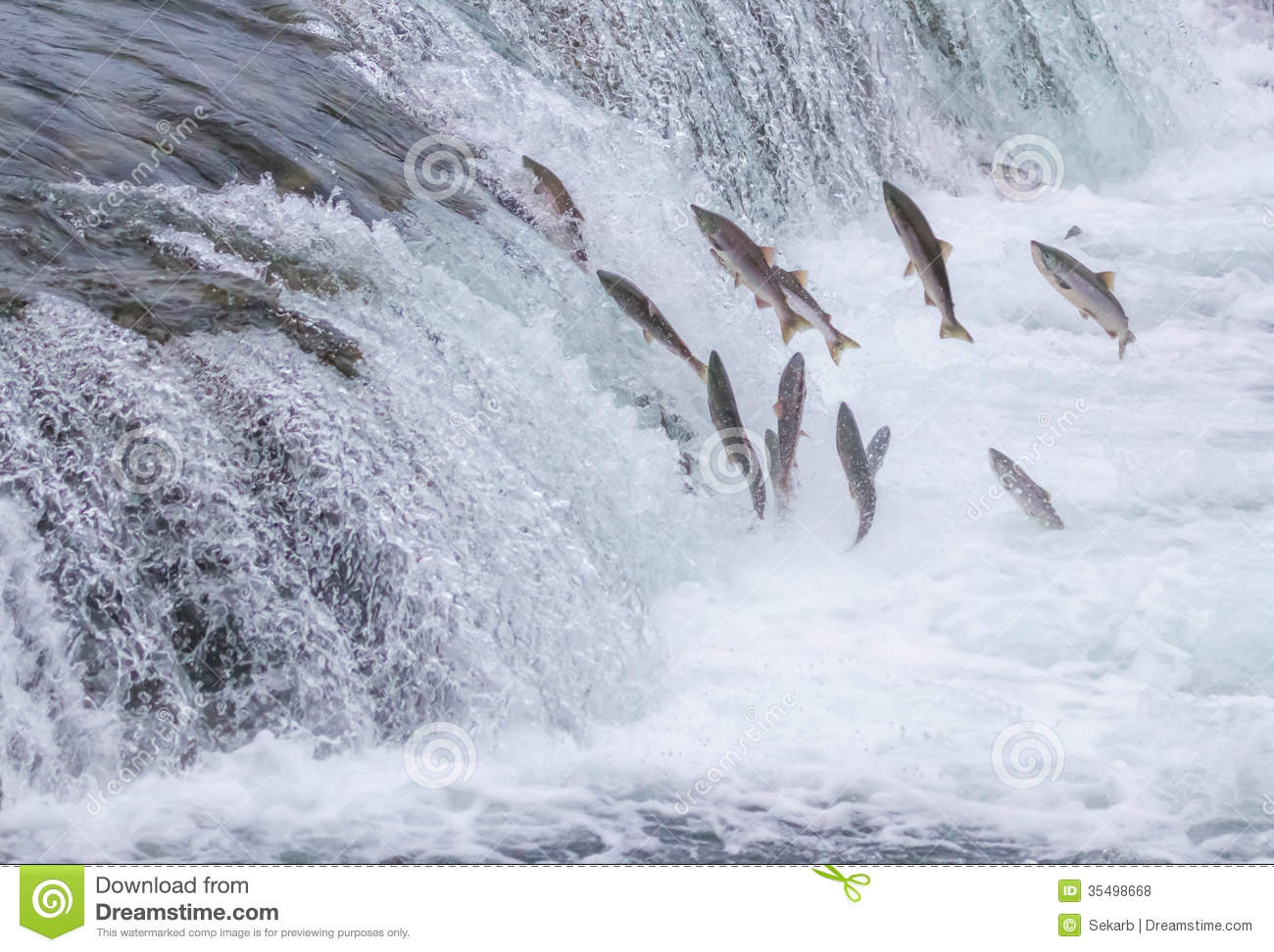Image result for atlantic salmon leaping water fall