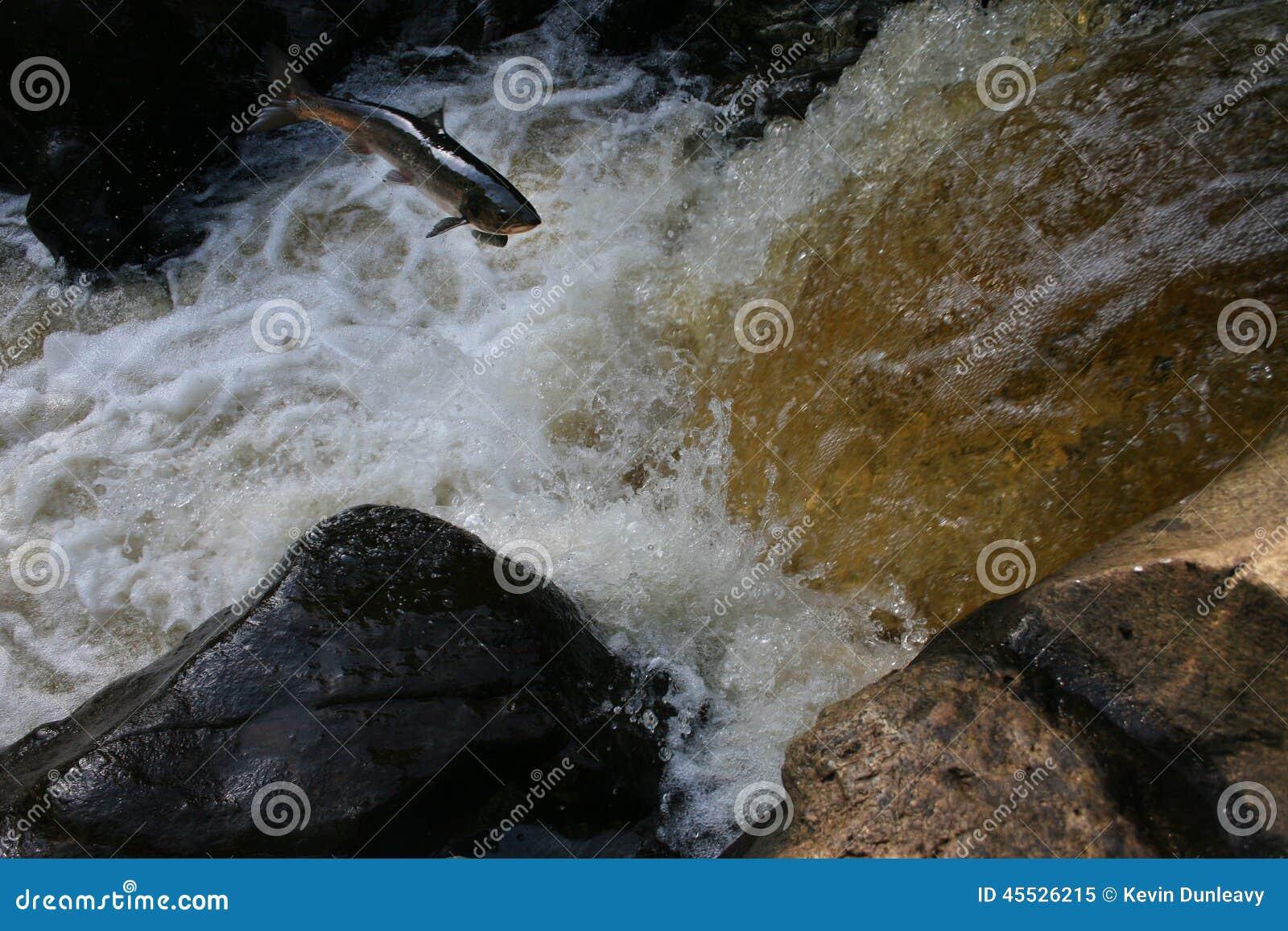 Salmon Leap