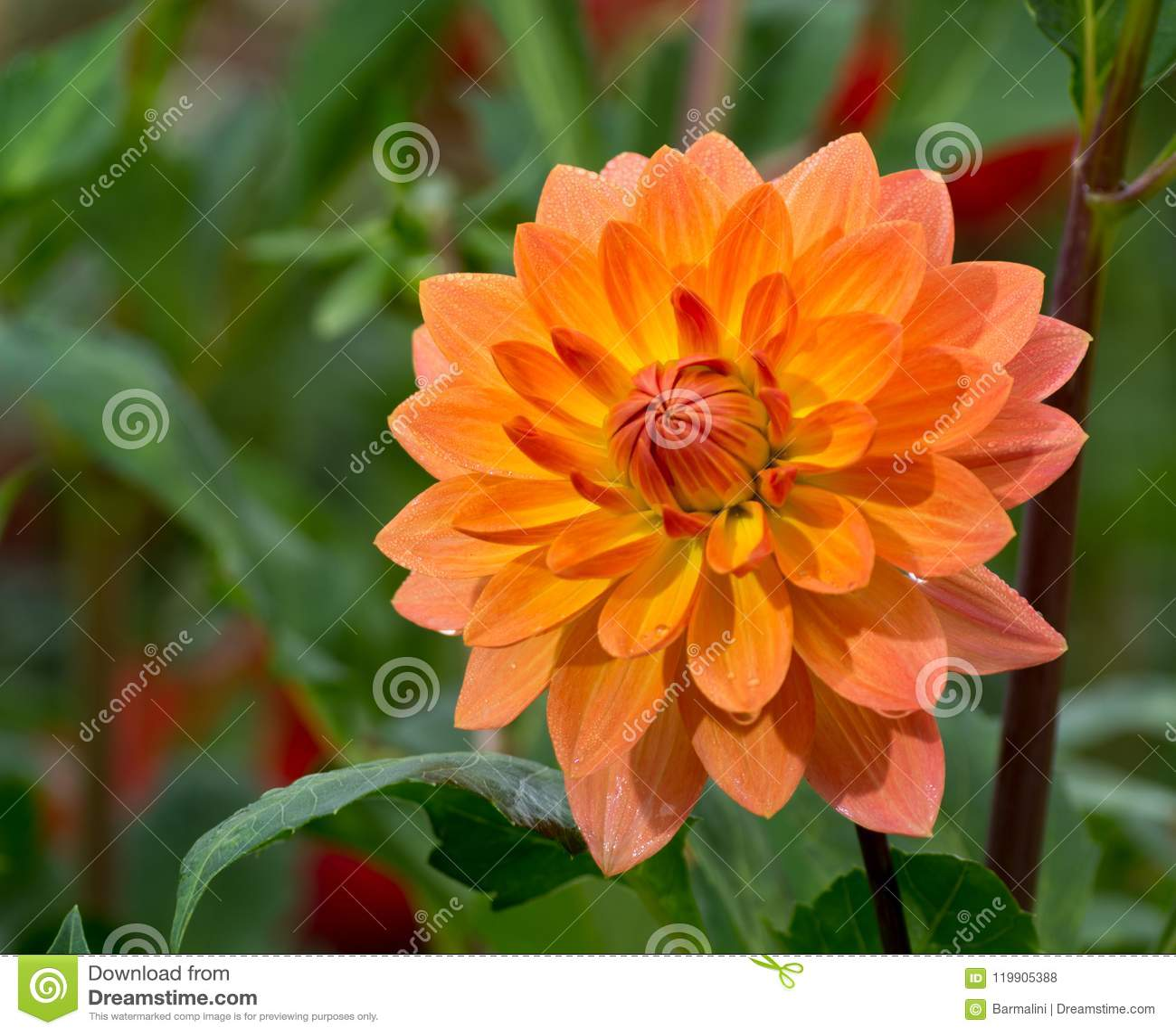 Salmon Orange Dahlia Flower Beatyful Bouquet Or Decoration From
