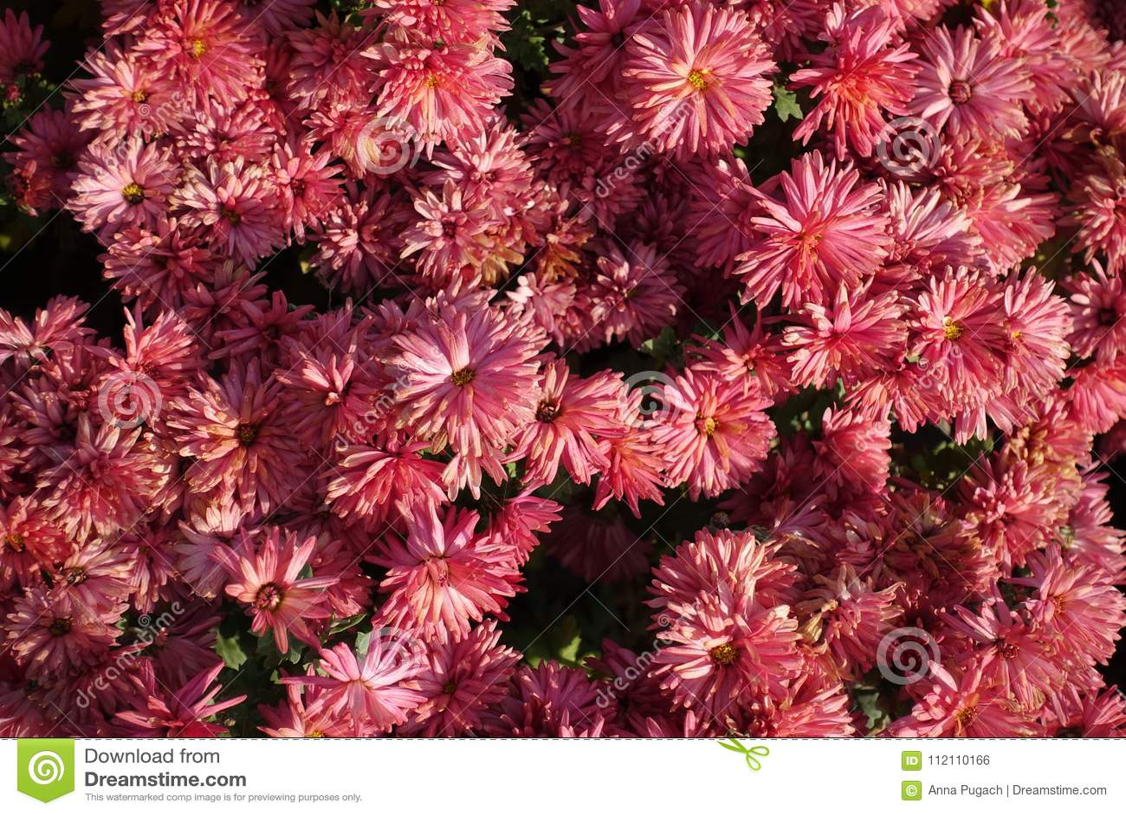 Salmon Pink Flowers Of Chrysanthemum Morifolium Stock Photo - Image ...