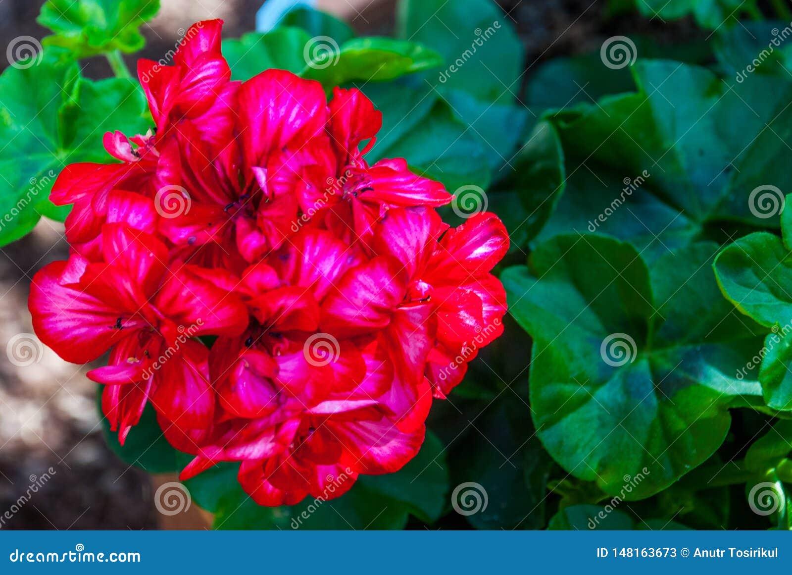 Salmon red pelargonium flowers closeup. or Pelargonium zonale