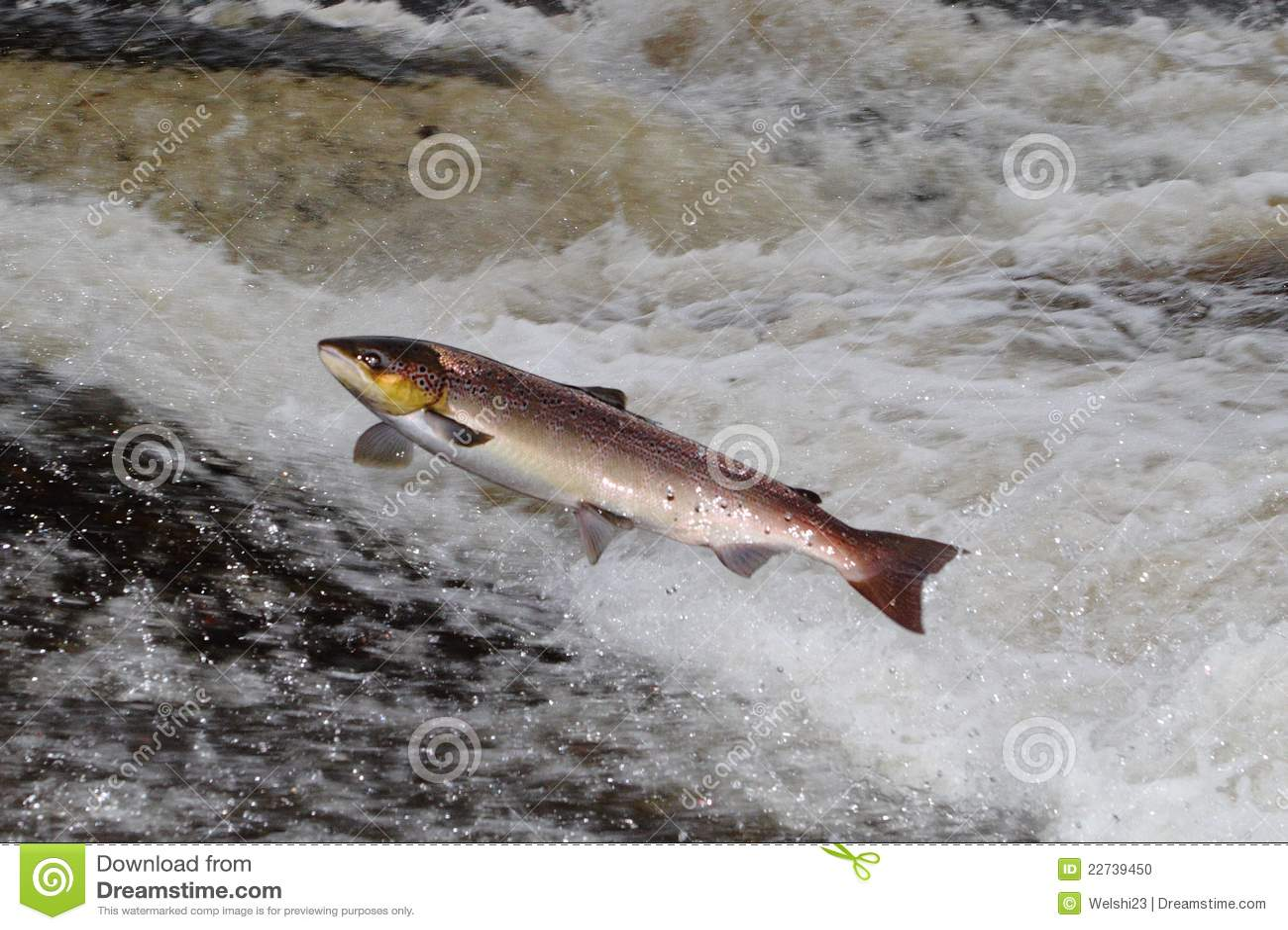 Salmones atlánticos de salto