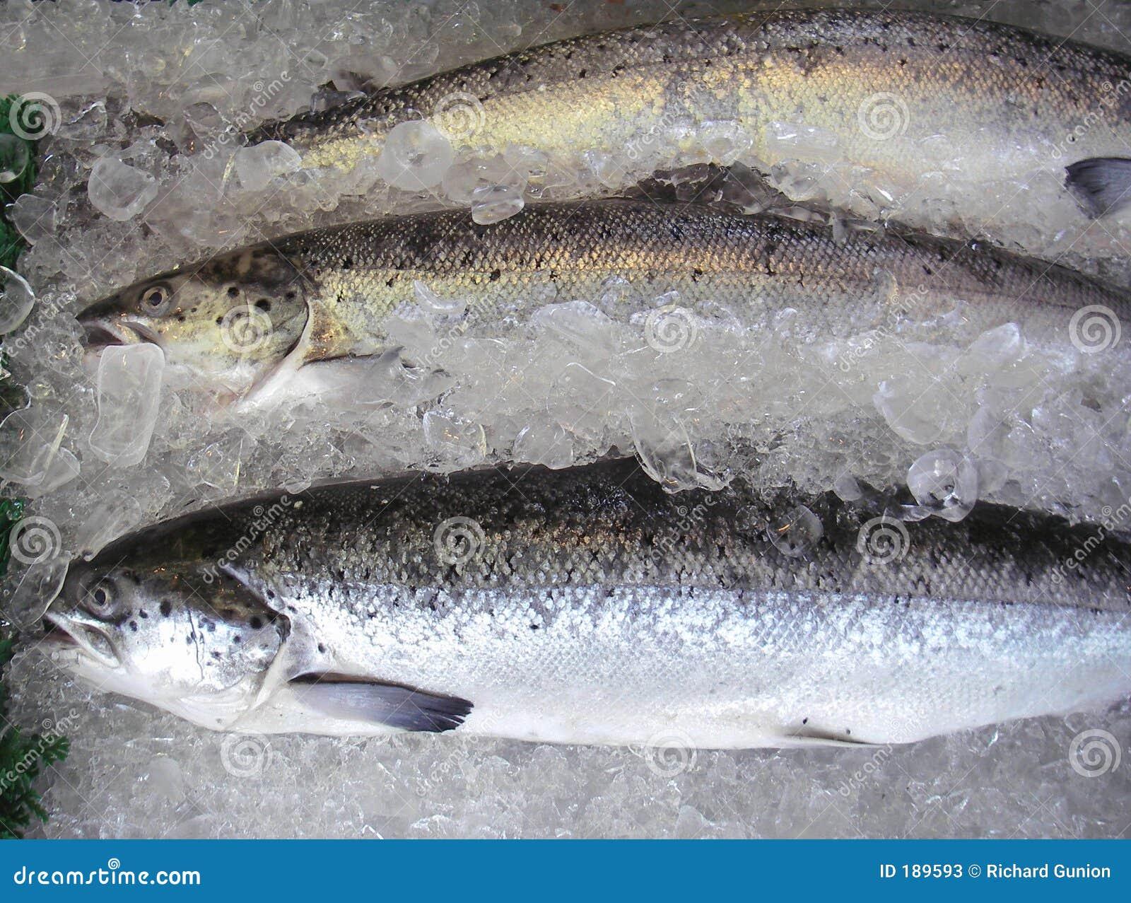Salmoni allevati azienda agricola